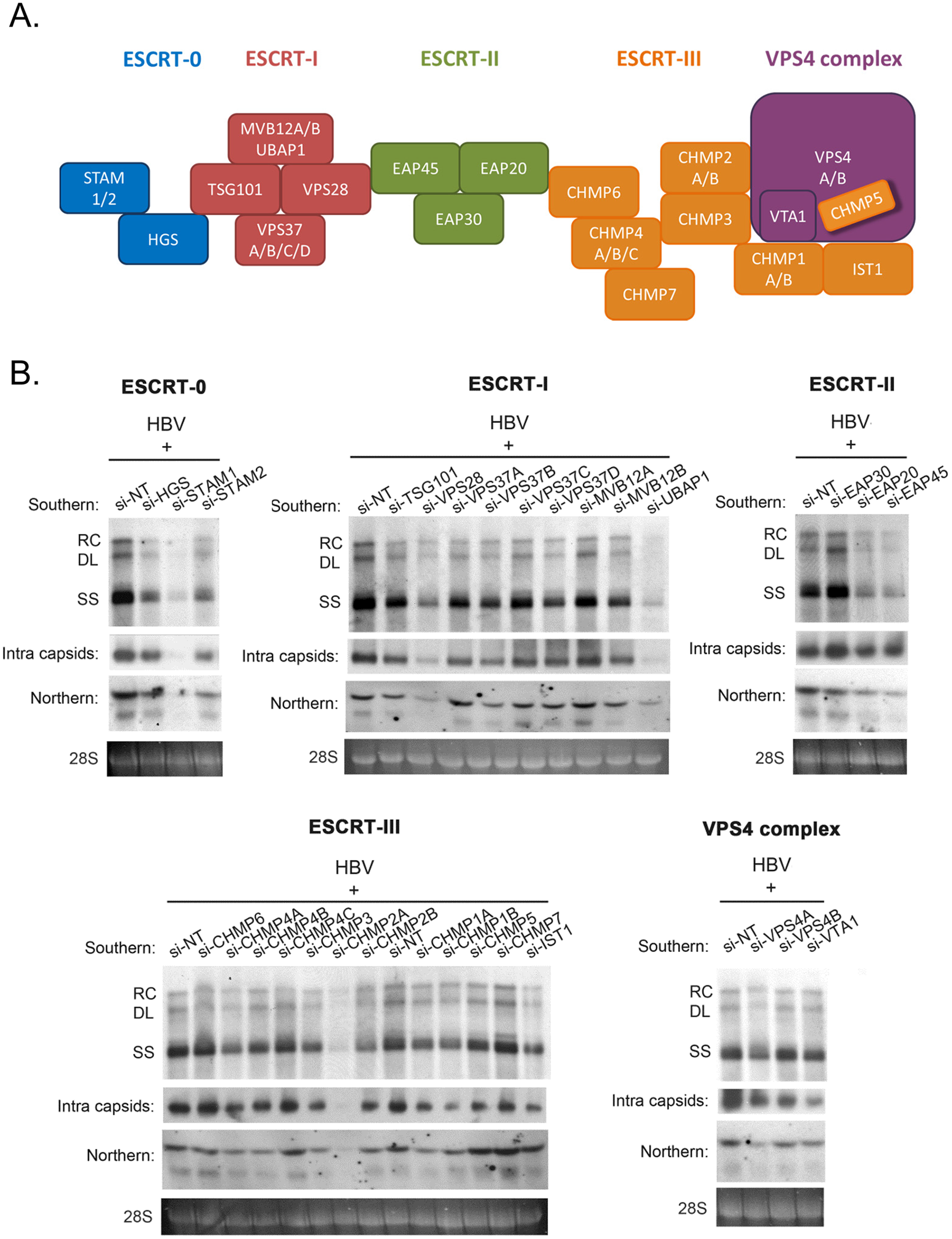 siRNA-knockdown screening for ESCRT factors required for HBV replication in HepG2 cells.
