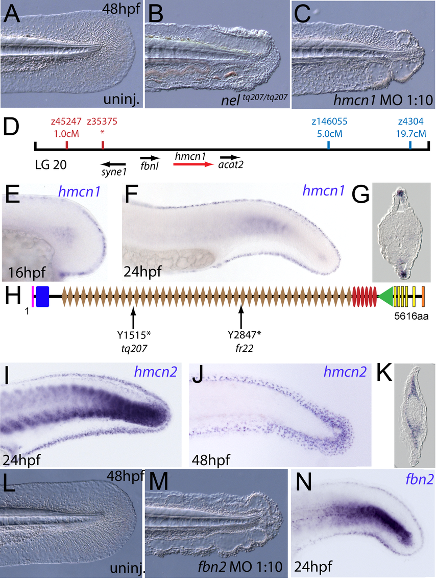 The fin blistering of <i>nagel</i> mutants is due to mutations in the <i>hemicentin1</i> gene.