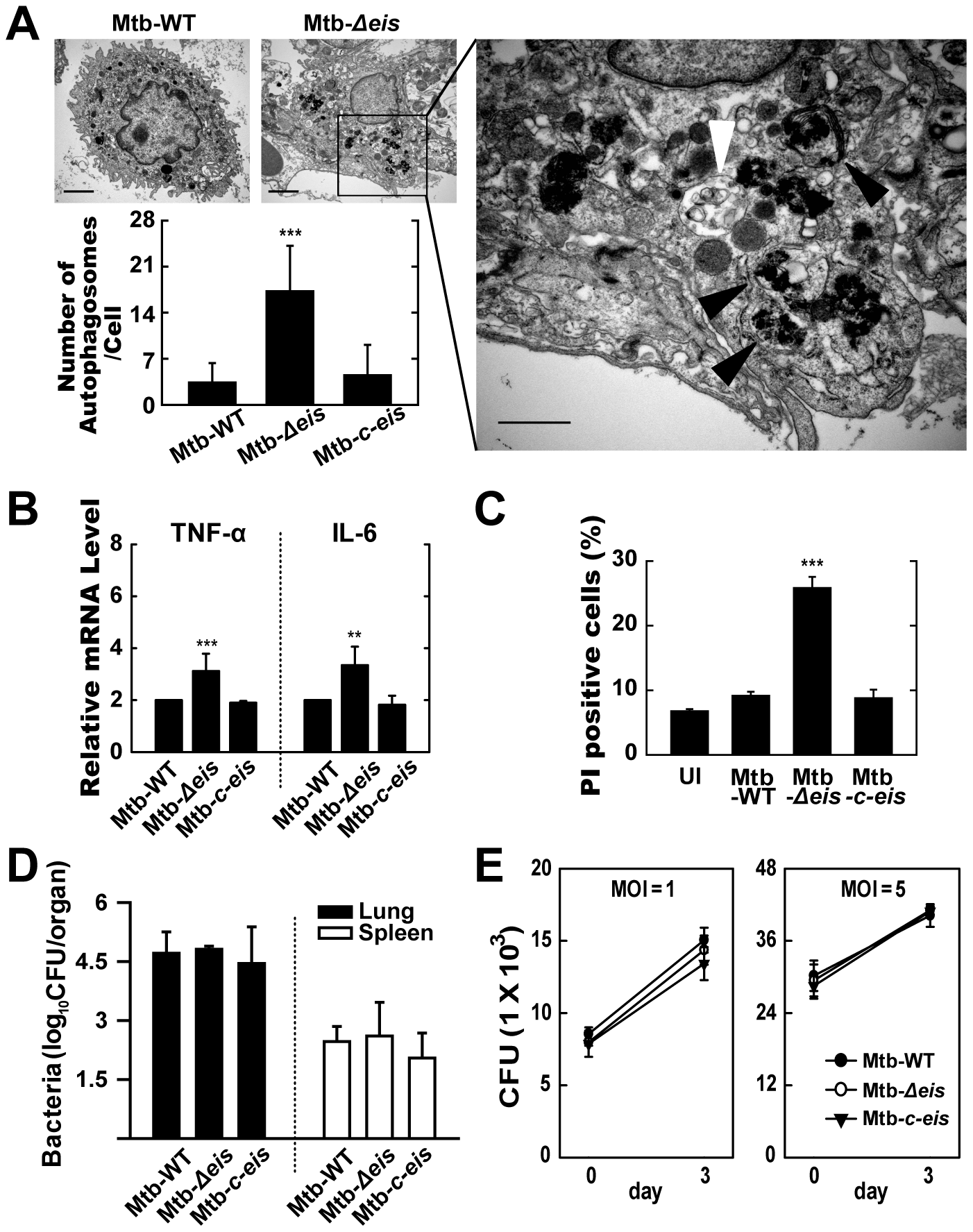 <i>In vivo</i> analysis of autophagic vesicles, inflammation, and cell death in infected mice with Mtb-<i>Δeis</i>.