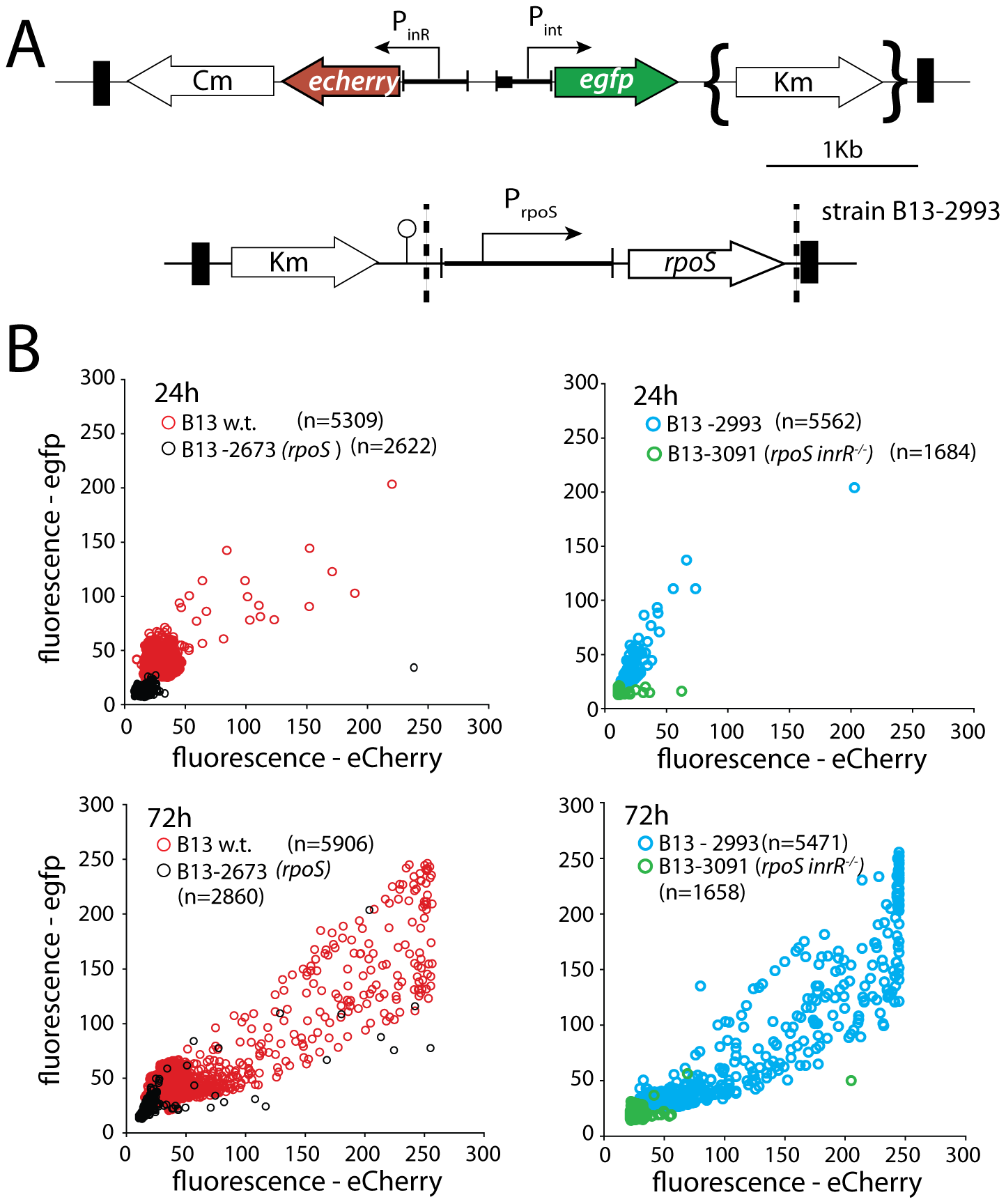 Effect of <i>rpoS</i> interruption on reporter gene expression from two key bistable promoters (P<i><sub>int</sub></i> and P<i><sub>inR</sub></i>) controlling ICE<i>clc</i> activity in stationary phase <i>P. knackmussii</i> cells grown on 3CBA.