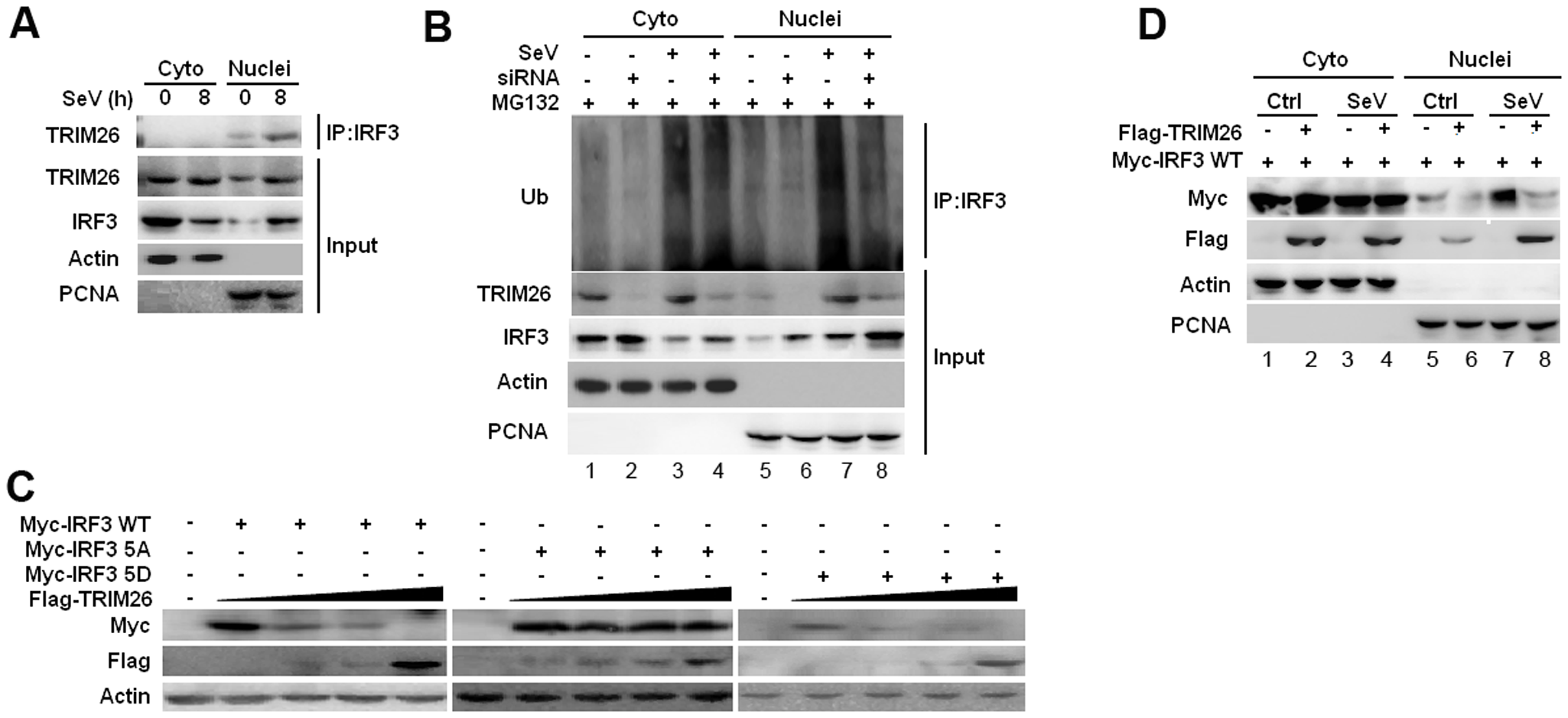 TRIM26 promotes IRF3 degradation in nucleus.