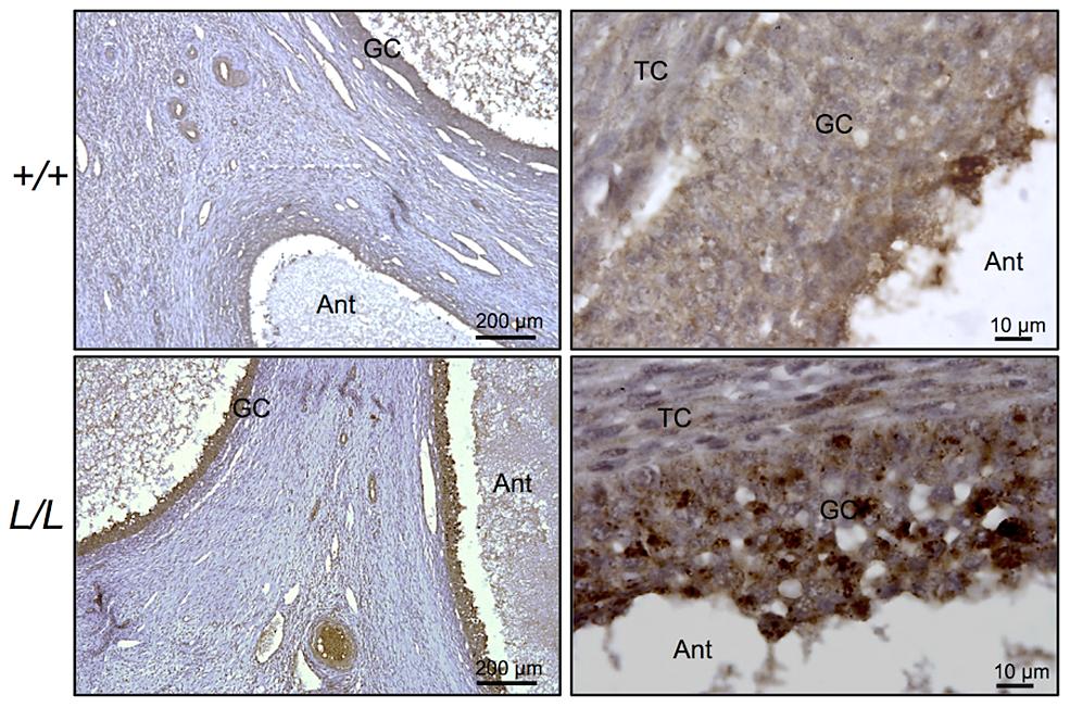 Immunostaining for B4GALNT2 in Lacaune sheep ovary.
