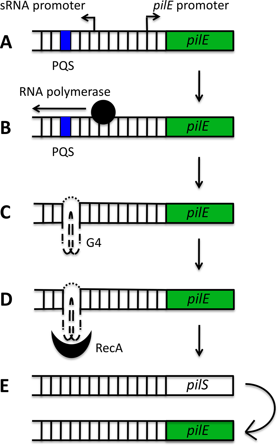 Schematic model of the role of the <i>pilE</i> G-quadruplex (G4) in <i>N</i>. <i>gonorrhoeae</i> pilin antigenic variation.