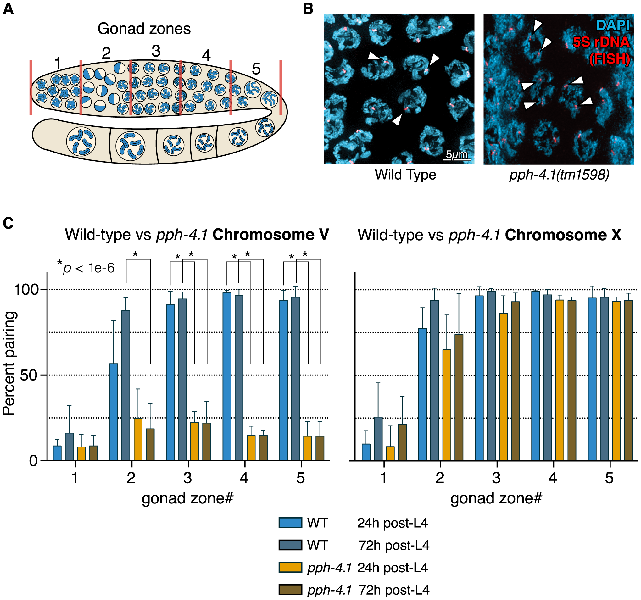 Autosomal pairing is diminished in <i>pph-4.1</i> mutants.