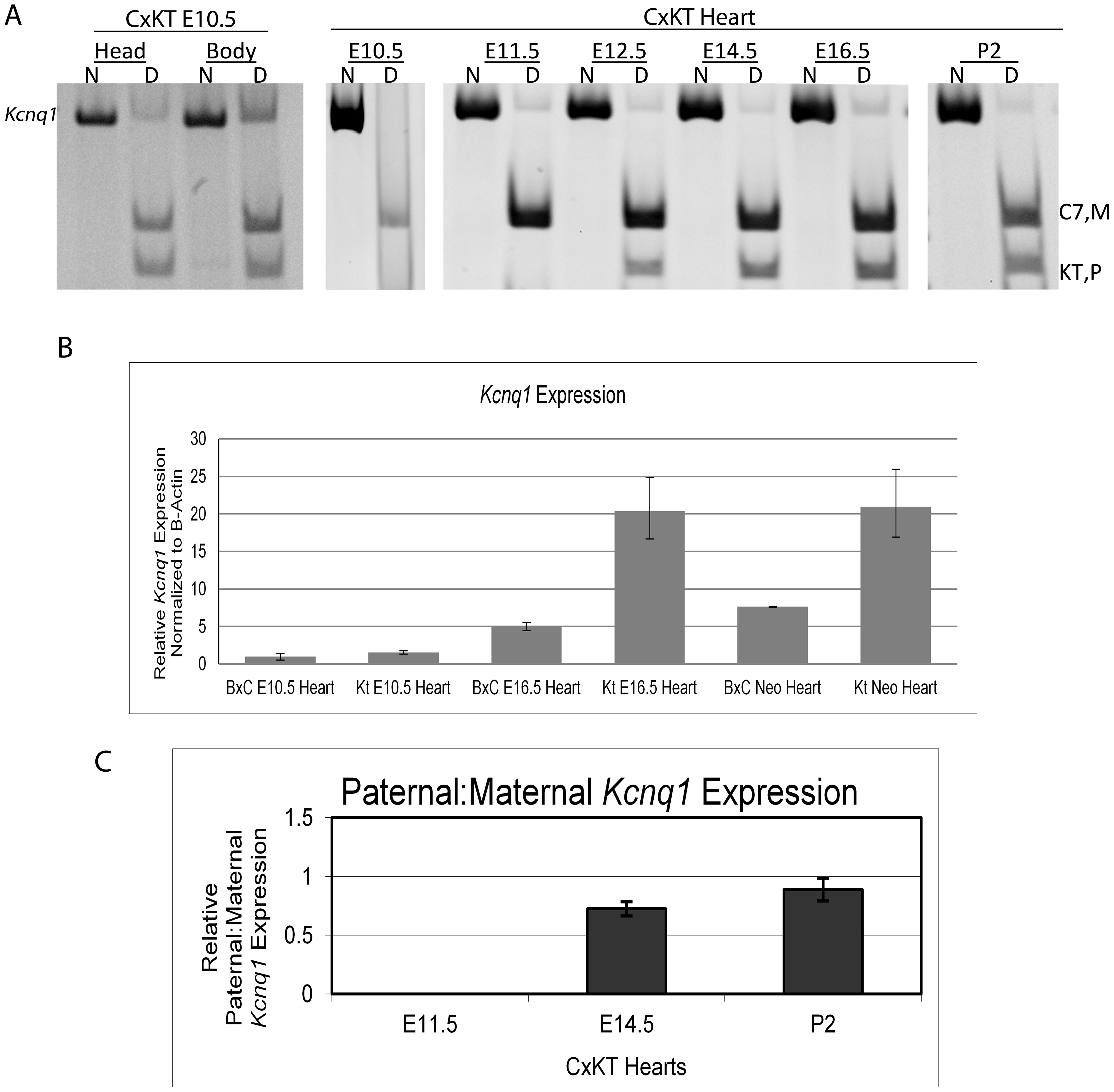 <i>Kcnq1</i> expression in the heart during development when the truncated <i>Kcnq1ot1</i> (<i>K-term</i> mutation) is inherited paternally.