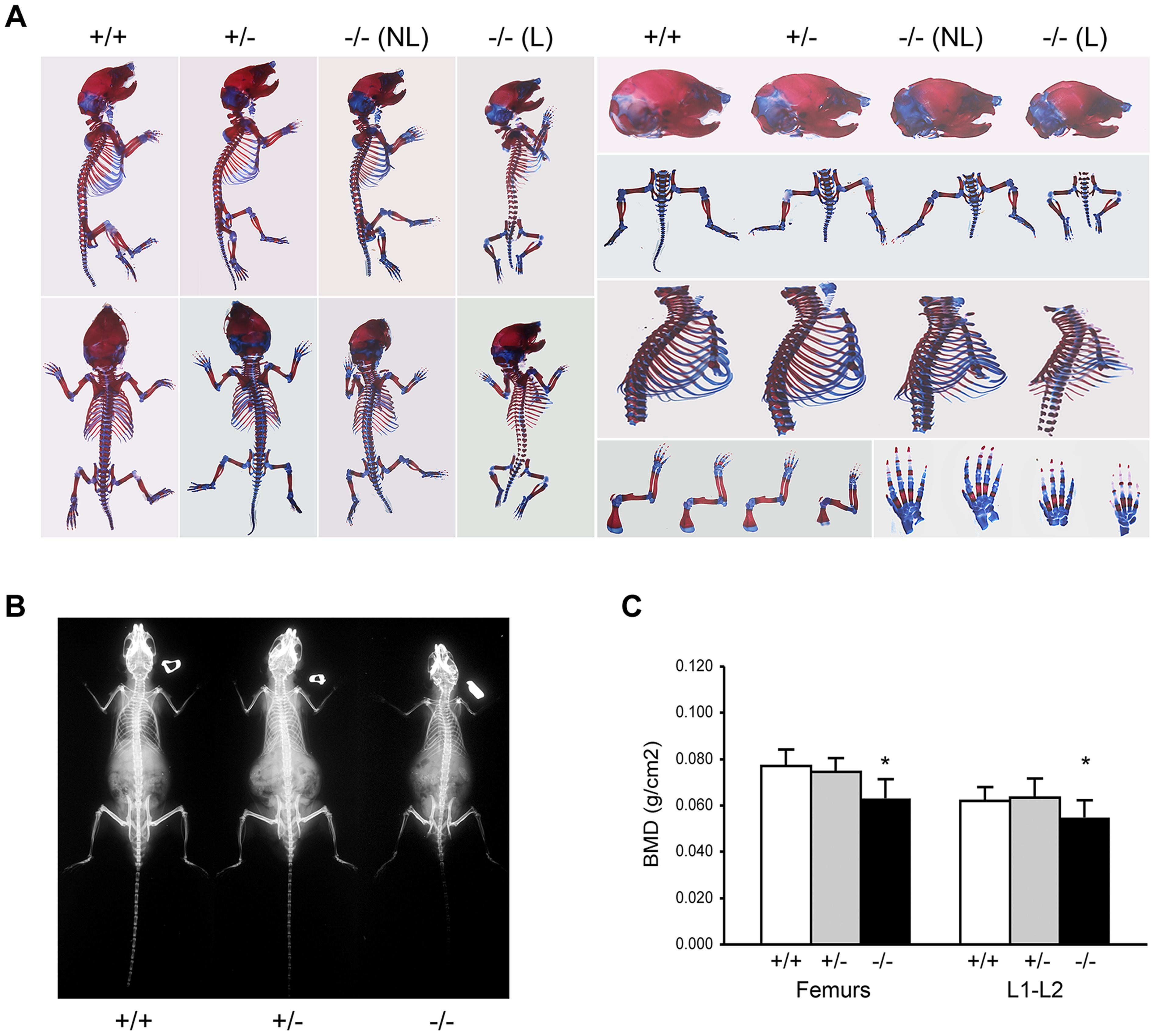Absence of <i>Ppib</i> expression affects bone development.