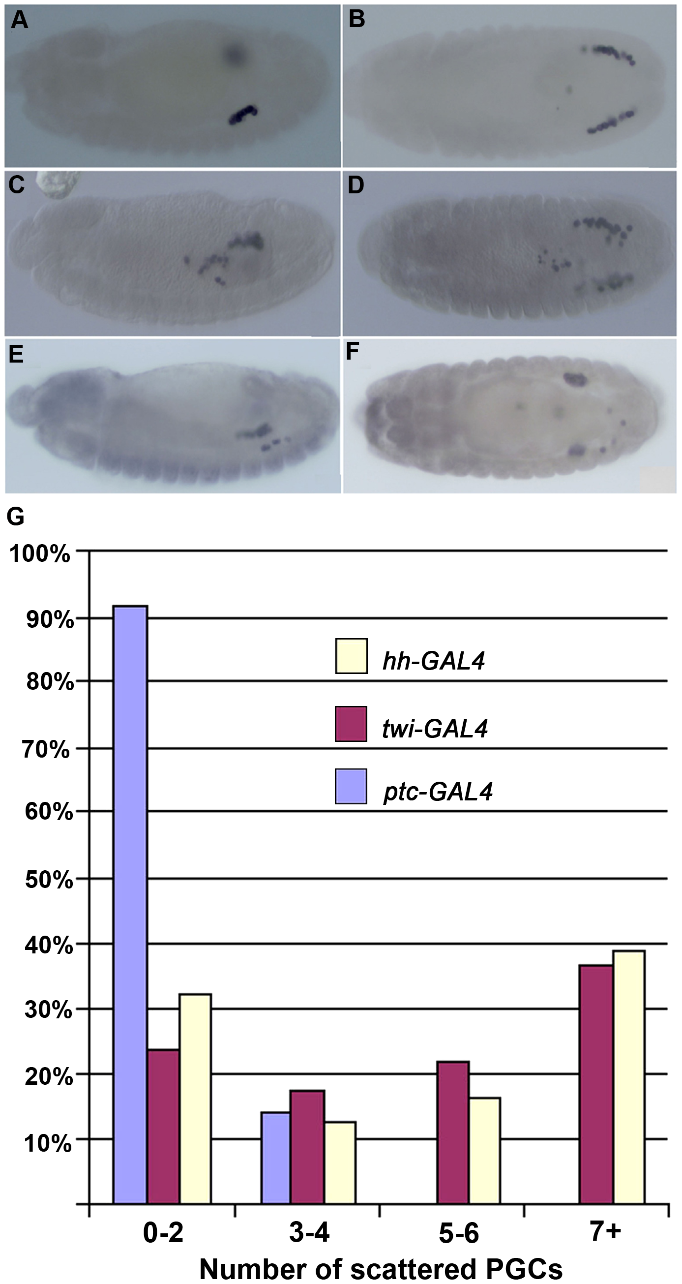 Ectopic <i>shf</i> expression induces PGC migration defects.