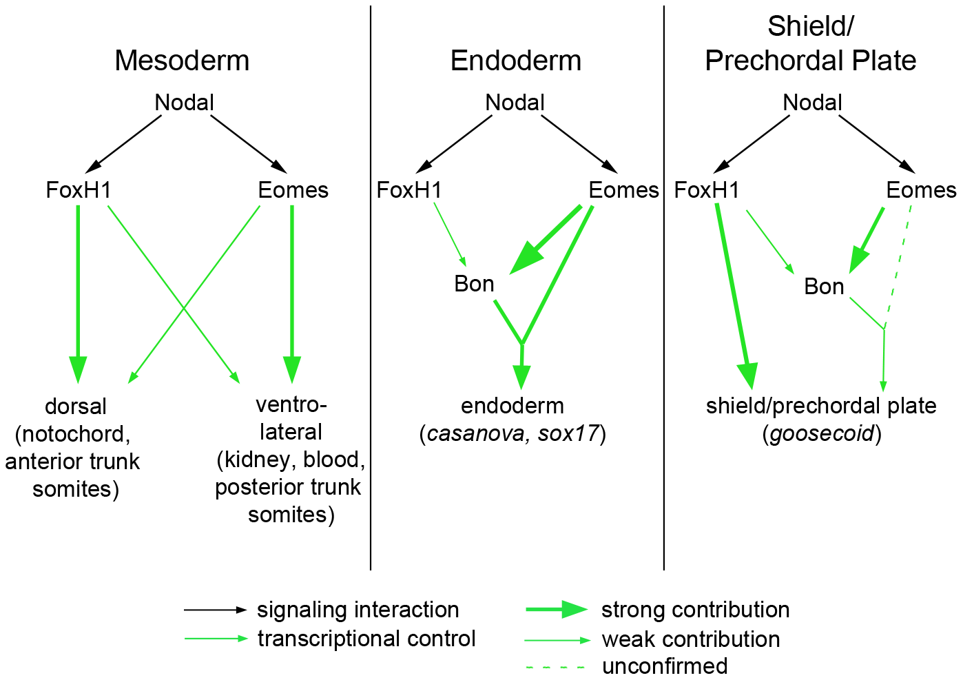 Model for roles of Nodal signaling in early zebrafish embryos.