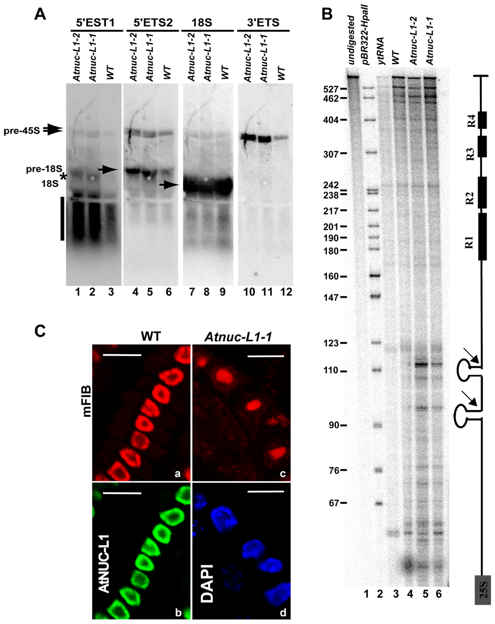 Processing of accumulated pre-rRNA in <i>Atnuc-L1</i> mutant plants is accurate.