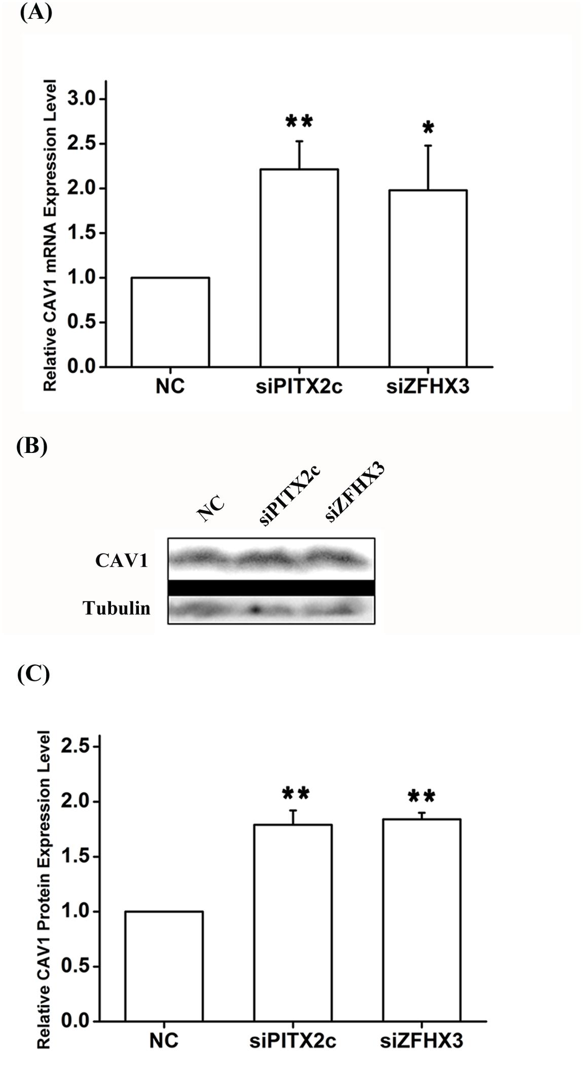 <i>PITX2c</i> and <i>ZFHX3</i> negatively regulate expression of the <i>CAV1</i> gene.
