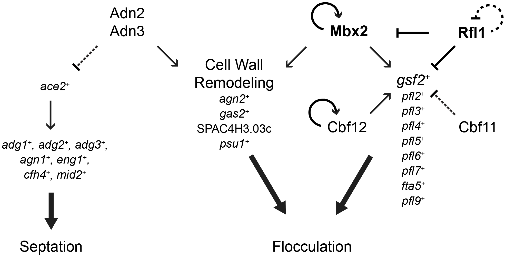 A model of the transcriptional-regulatory network of flocculation in <i>S. pombe</i>.