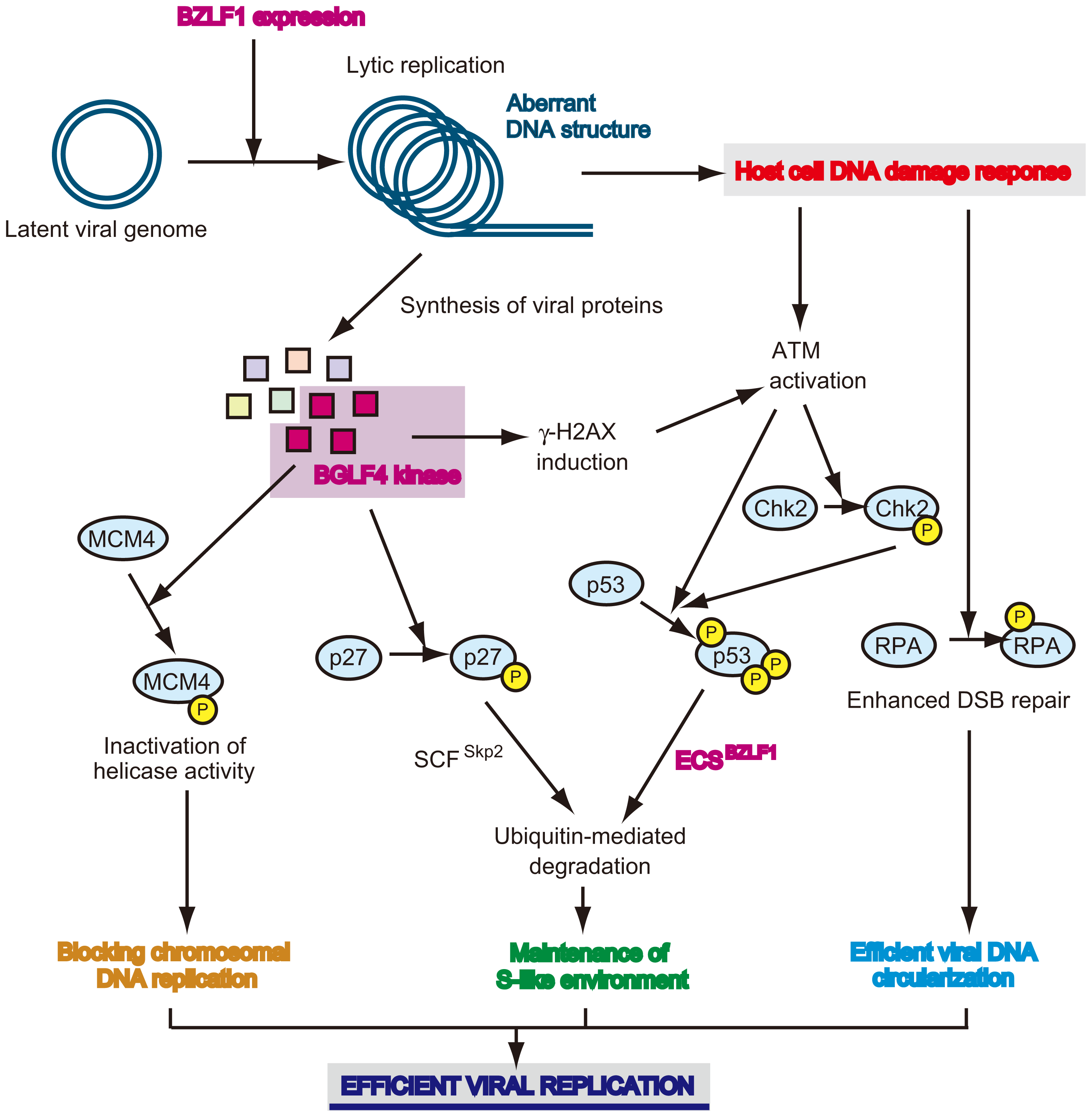 Viral strategy to manipulate the cellular environment for its own genome replication.