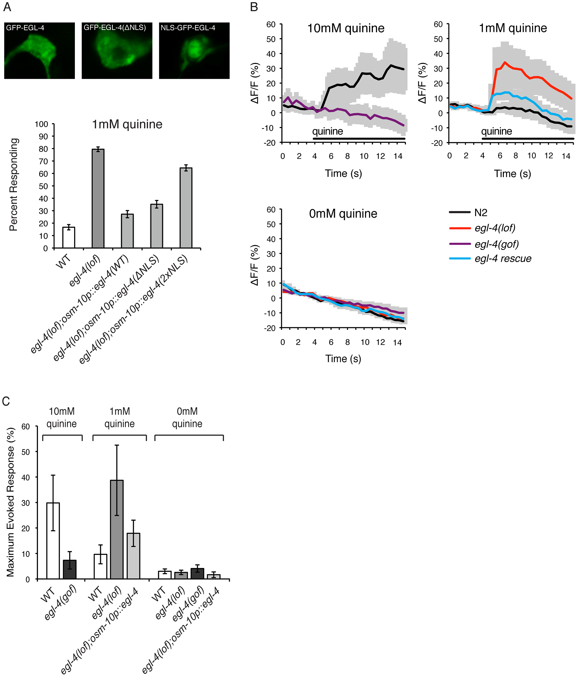 EGL-4 functions in the cytoplasm to regulate calcium signaling.
