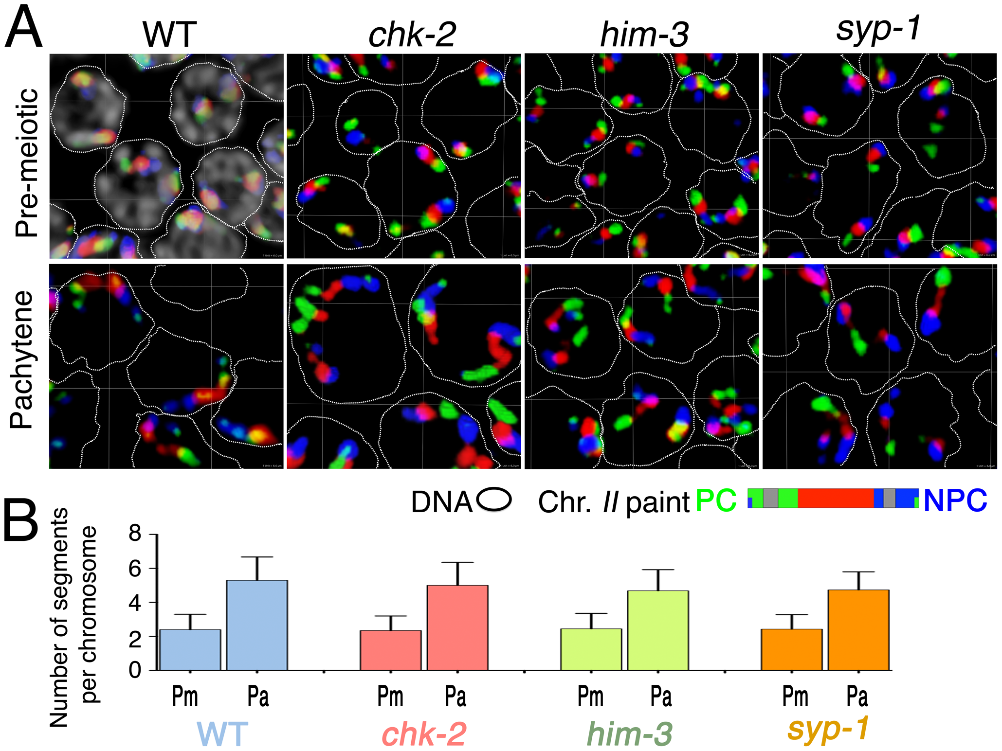 Longitudinal extension of chromosome territories in mutants defective for SC assembly and chromosome dynamics mediated by PC–SUN-1 linkages.