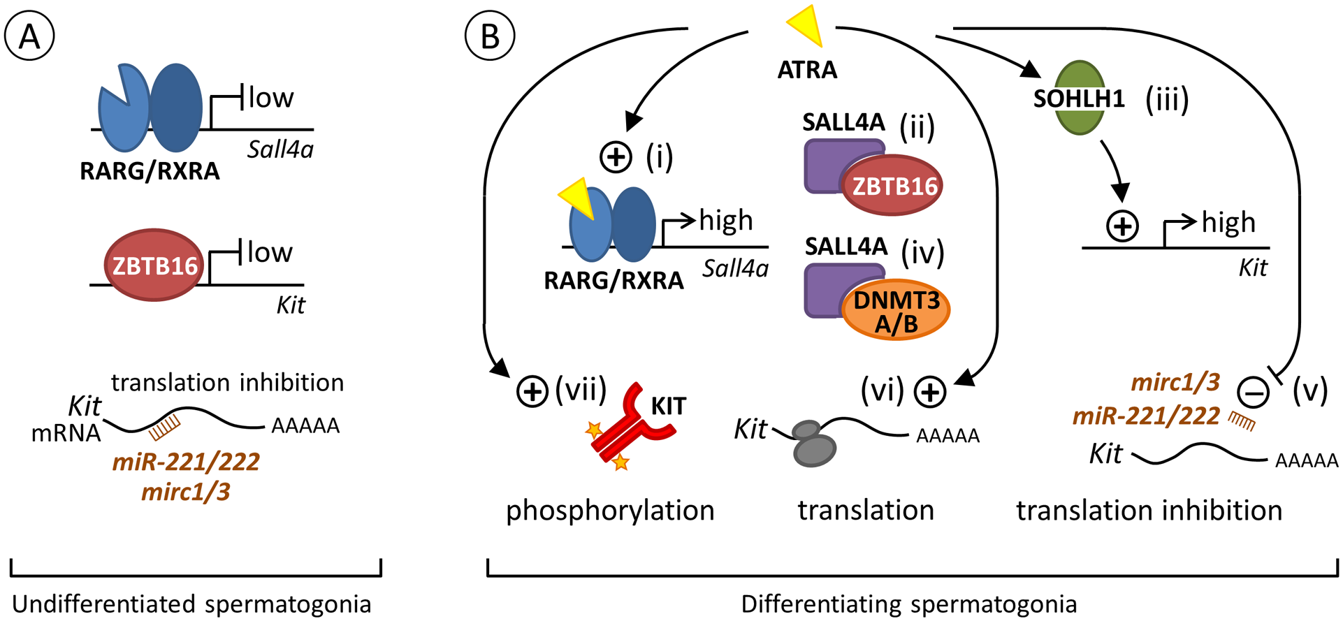 Proposed model for the regulation of <i>Kit</i> expression by ATRA during the transition from A<sub>al</sub> to A<sub>1</sub> spermatogonia.