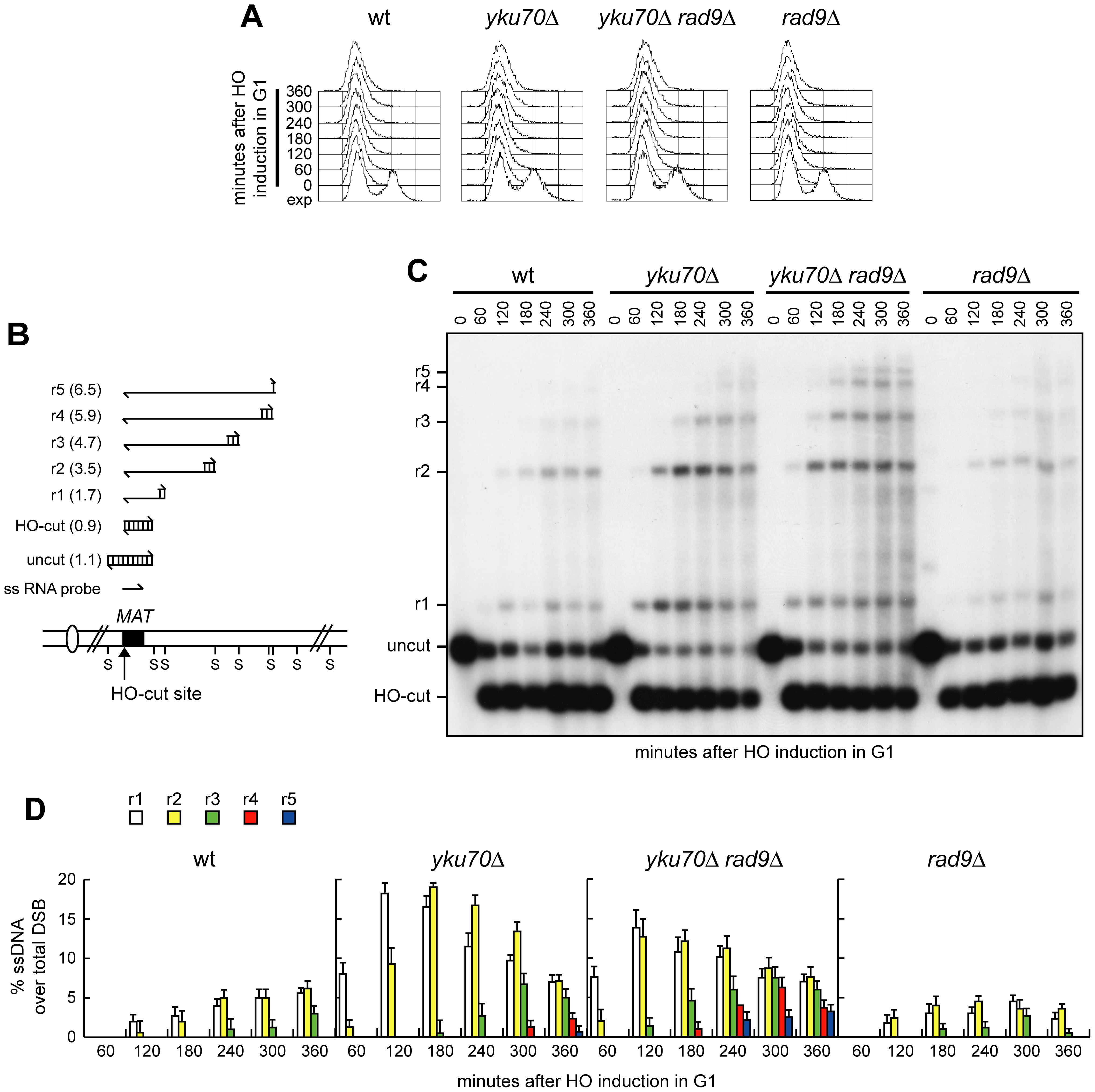 Rad9 inhibits extensive DSB resection in <i>yku70Δ</i> G1 cells.