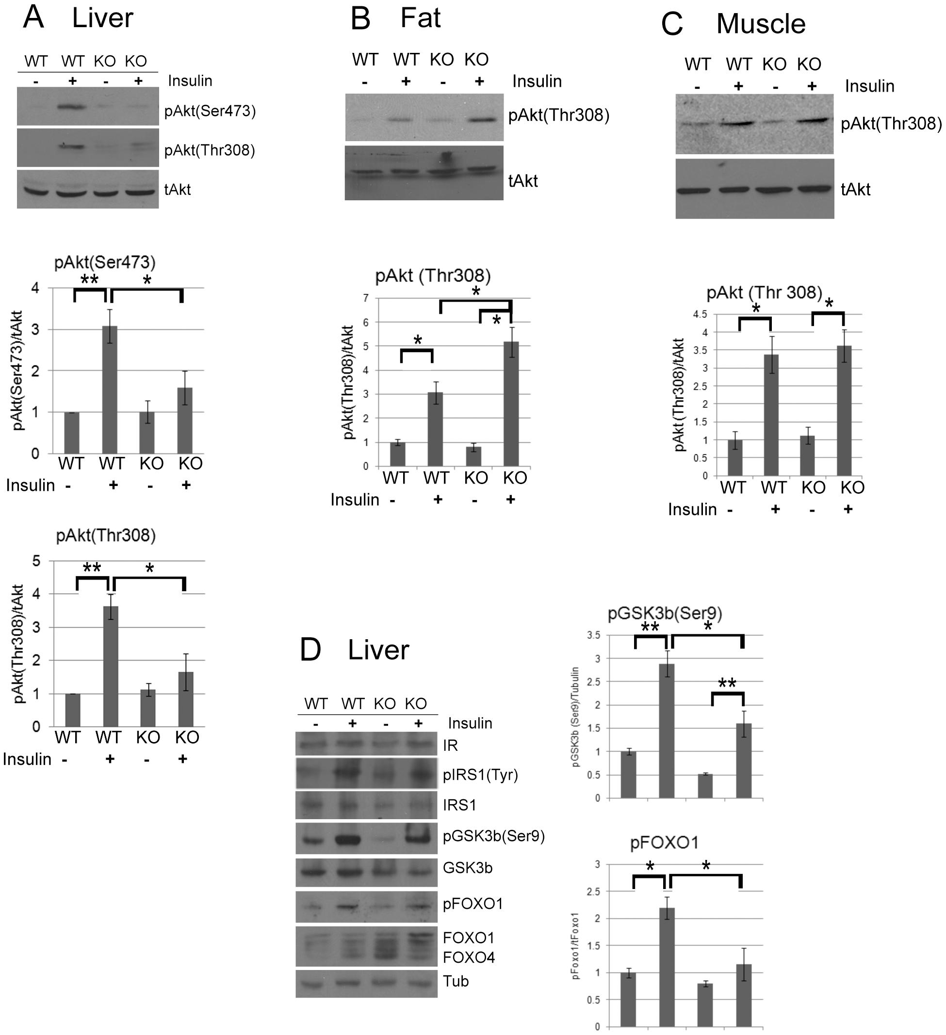 CPEB mediates insulin signaling in the liver.