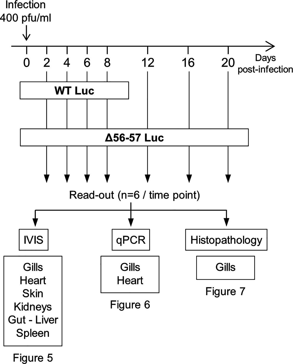 Flow chart of experiments performed to study the effect of the double ORF56-57 deletion on CyHV-3 pathogenesis.