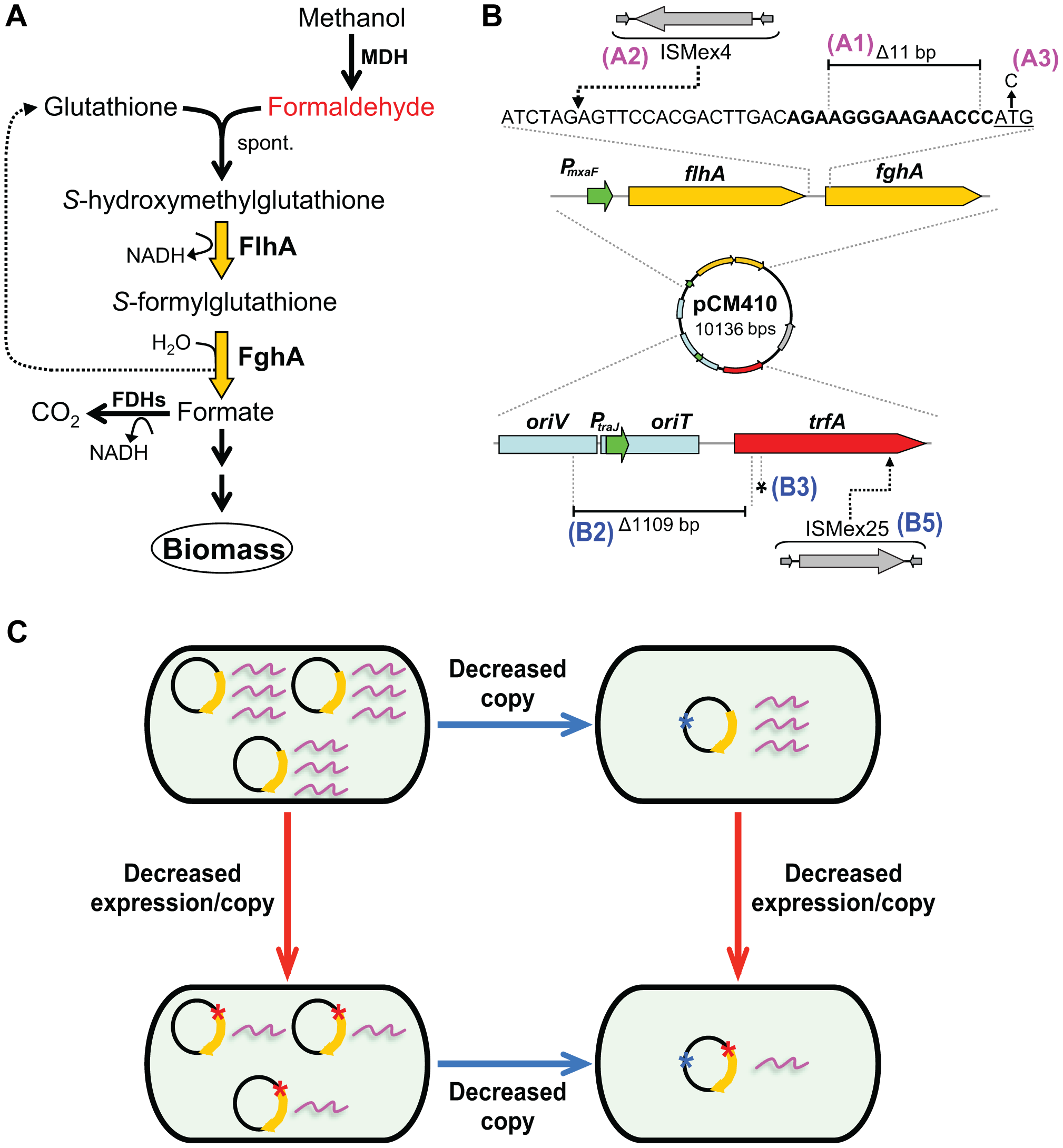 Adaptive mutations that optimized the expression of the GSH-linked pathway.