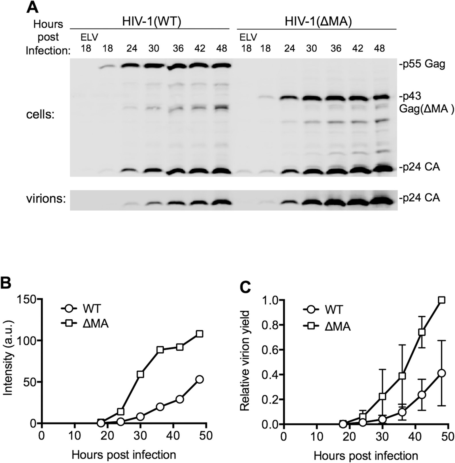 Effect of the MA globular head on the dynamics of HIV-1 replication.