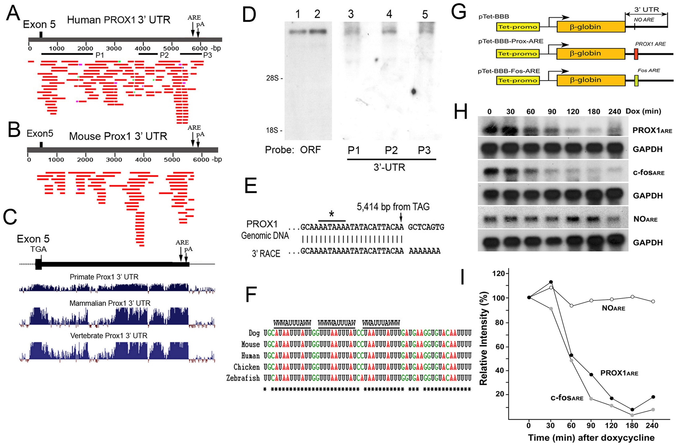 PROX1 mRNA has an unusually long 3′-untranslated region with a functional ARE that decreases its mRNA stability.