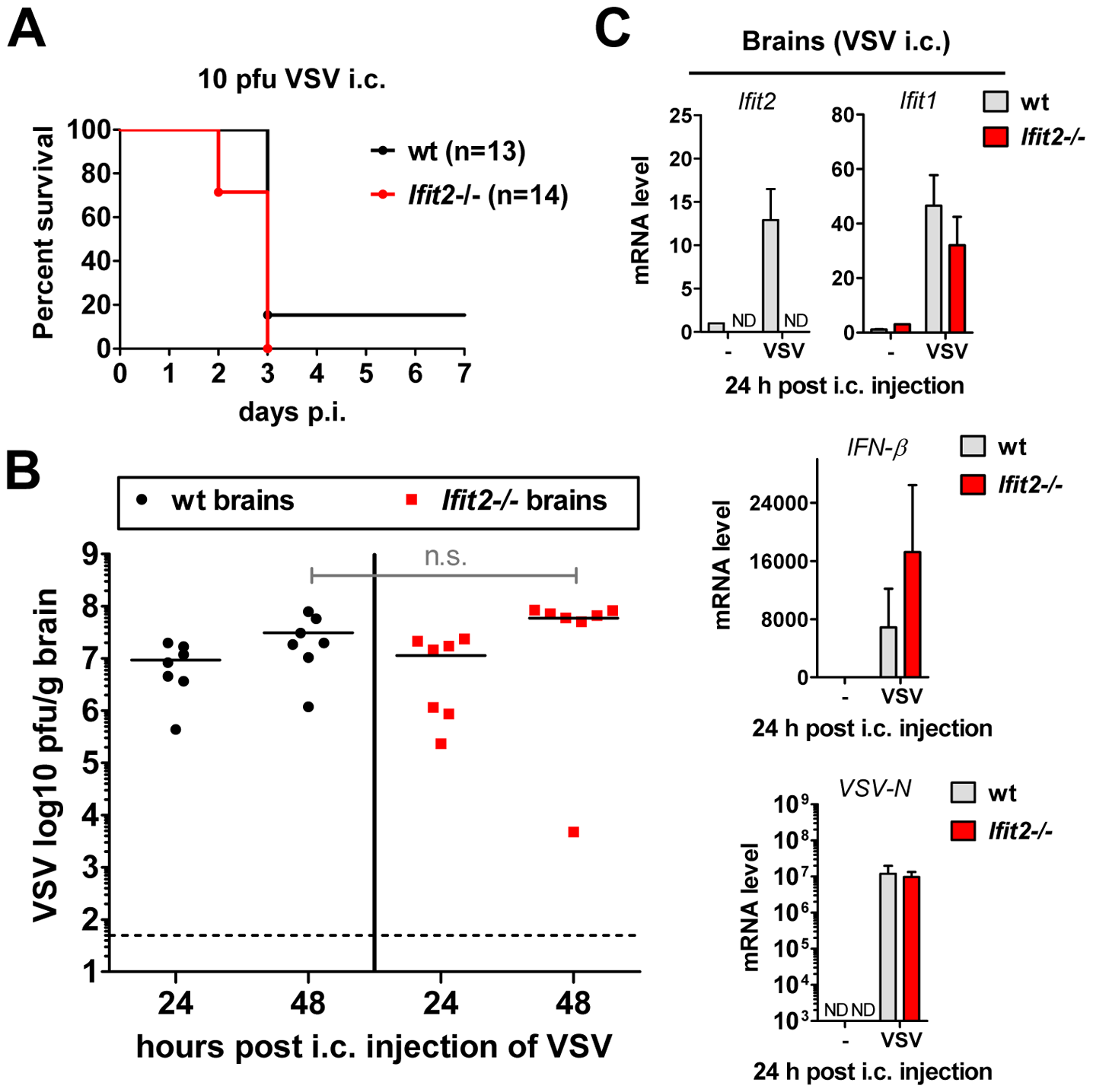 Wt mice are as susceptible as <i>Ifit2<sup>−/−</sup></i> mice to intracranial VSV infection.