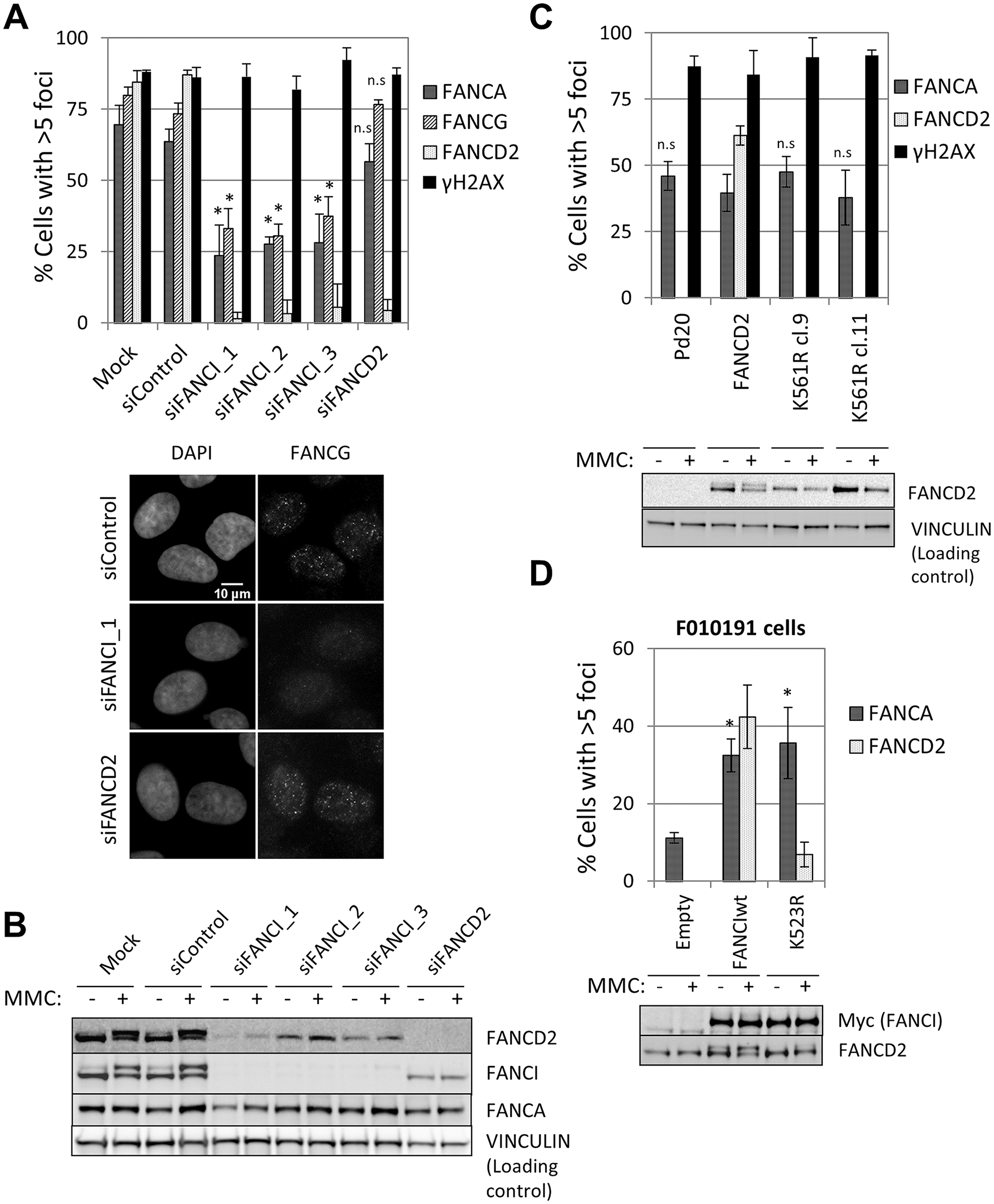FANCI, but not FANCD2, is required for FA core complex foci formation.