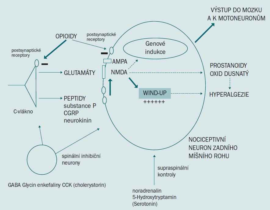 Schéma 3. Neurotransmiterové změny odehrávající se na míšní buňce, ke které přivádí impuls C–vlákno.