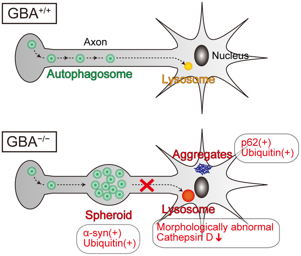 Pathological findings and proposed pathological mechanisms in neurons of <i>GBA</i><sup>-/-</sup> medaka.
