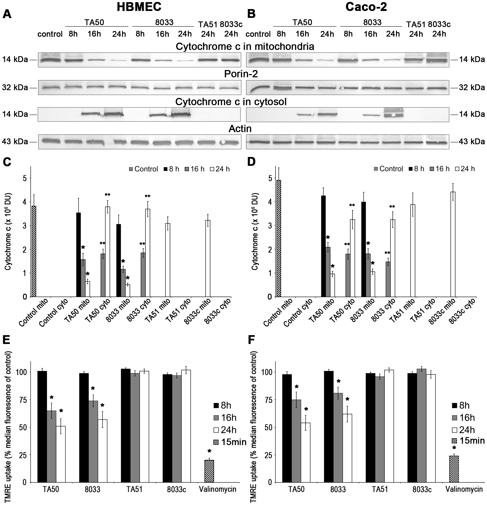 Translocation of EHEC-Hly to mitochondria results in cytosolic cytochrome c release and ΔΨ<sub>m</sub> decrease.