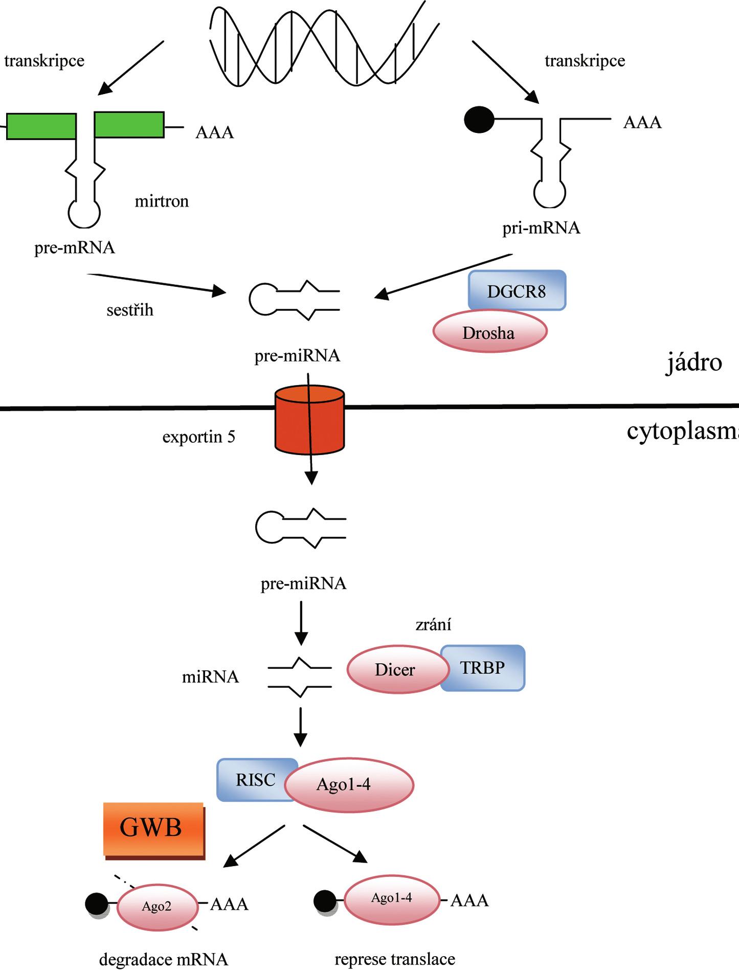 Biogeneze a funkce miRNA
