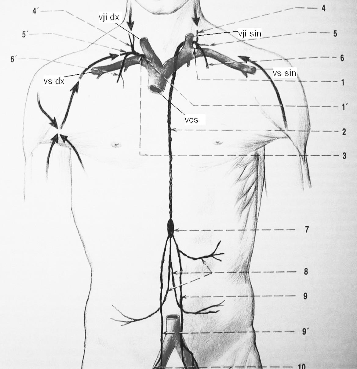 Lymfatický systém. vji dx – vena jugularis interna l.dx., vji sin – vena jugularis interna l.sin., vs dx – vena subclavia l.dx., vs sin – vena subclavia l.sin., vcs – vena cava superior, 1 angulus venosus sinister, 1' angulus venosus dexter, 2 ductus thoracicus, 3 ductus lymphaticus dexter, 4 truncus jugularis sinister, 4' truncus jugularis dexter, 5 truncus subclavius sinister, 5' truncus subclavius dexter, 6 truncus bronchomediastinalis sinister, 6' truncus bronchomediastinalis dexter