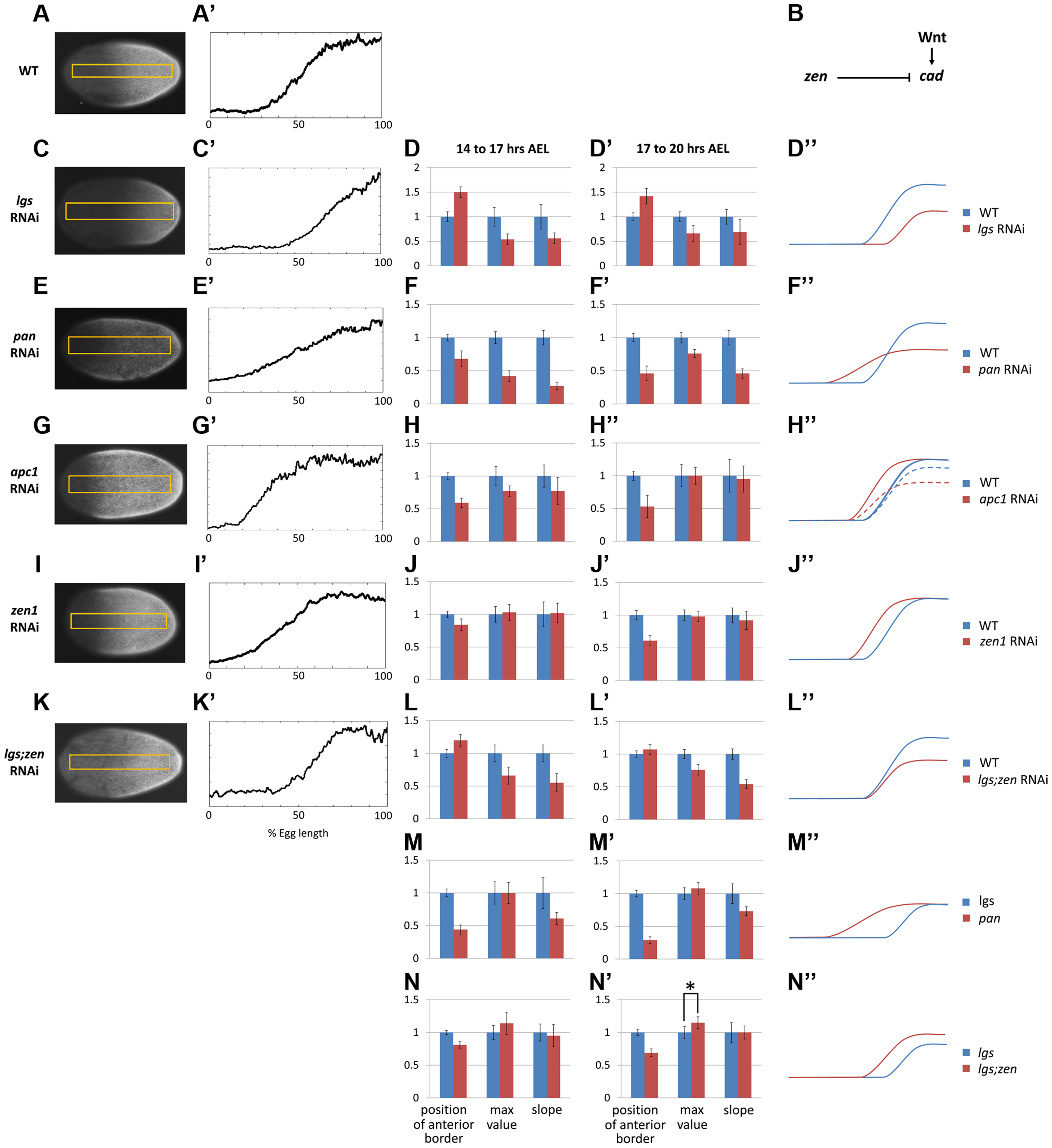 Characterization of <i>Tc-cad</i> gradient in WT and RNAi knockdowns.