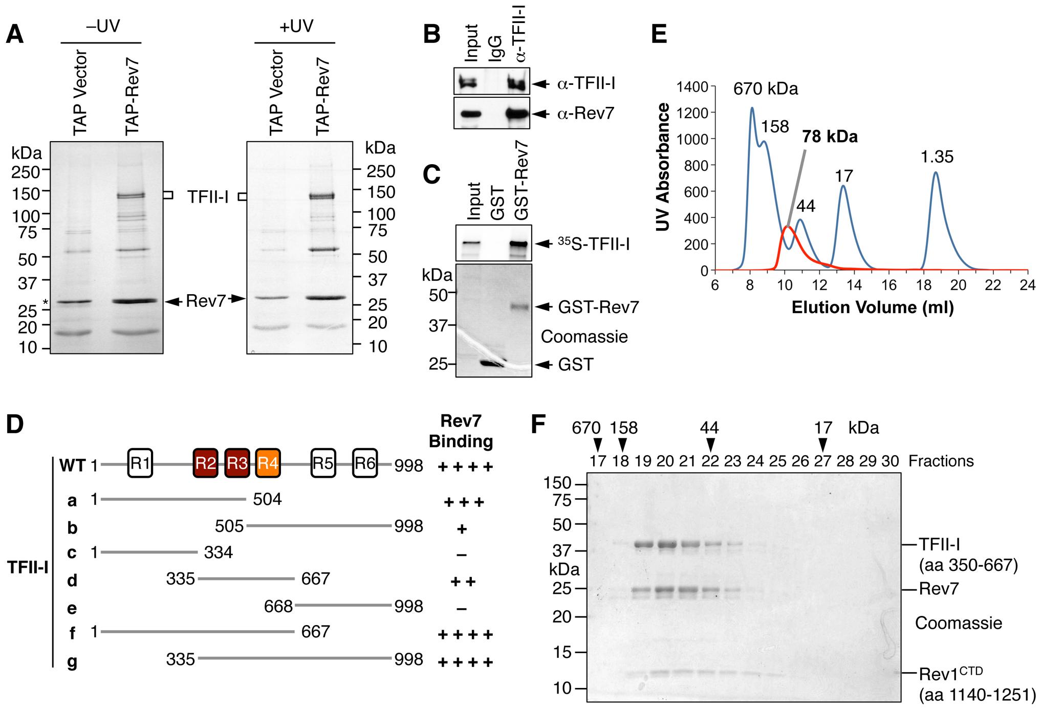 TFII-I is a novel Pol ζ-binding protein.