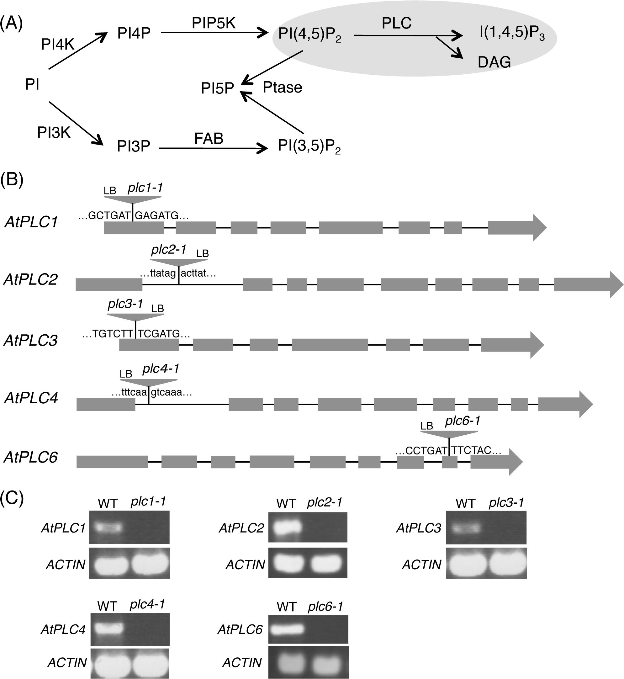 Phosphoinositide-specific phospholipase C (PI-PLC) in phosphoinositide metabolism.