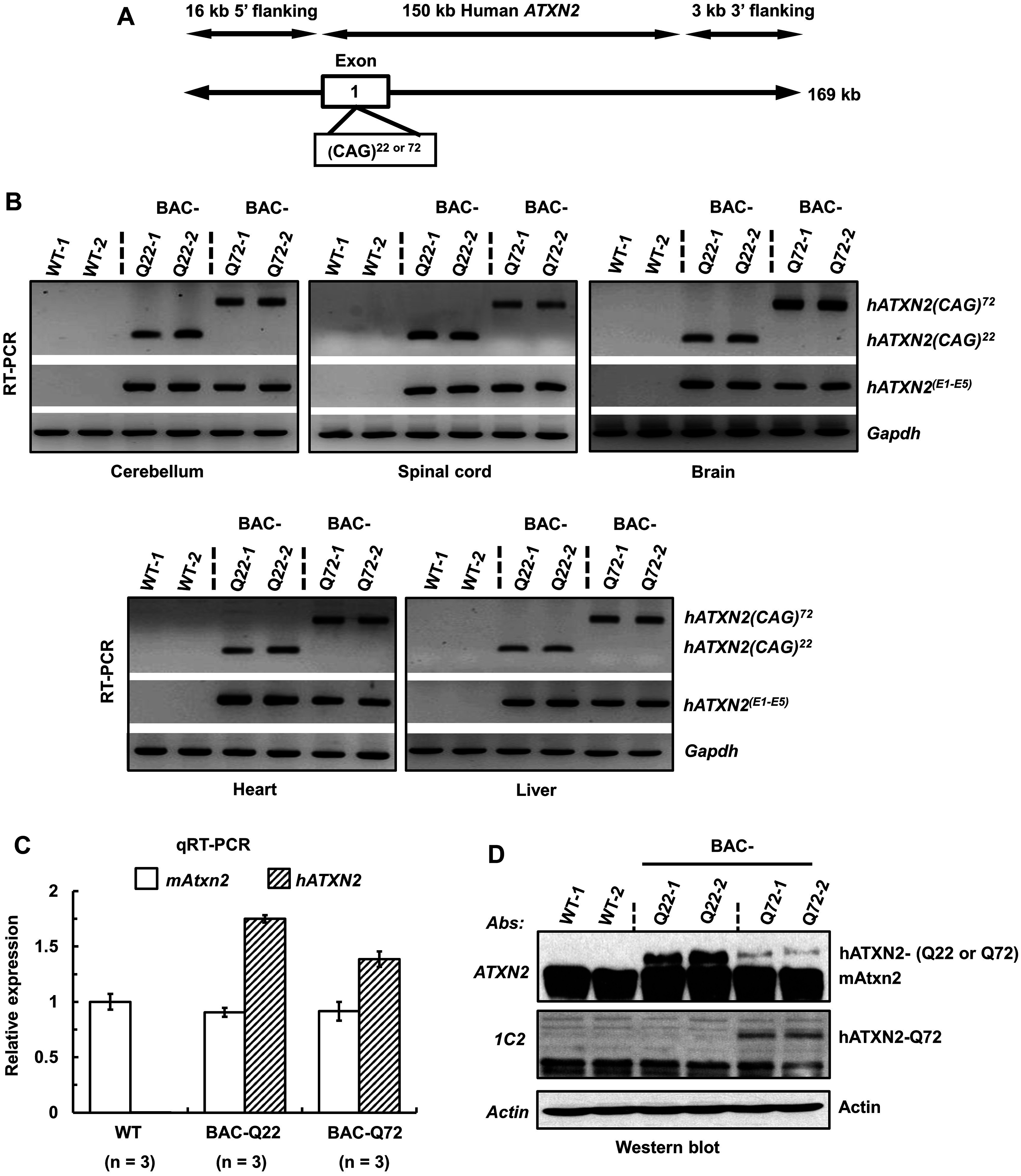 Generation of a BAC-SCA2 transgenic mouse model.