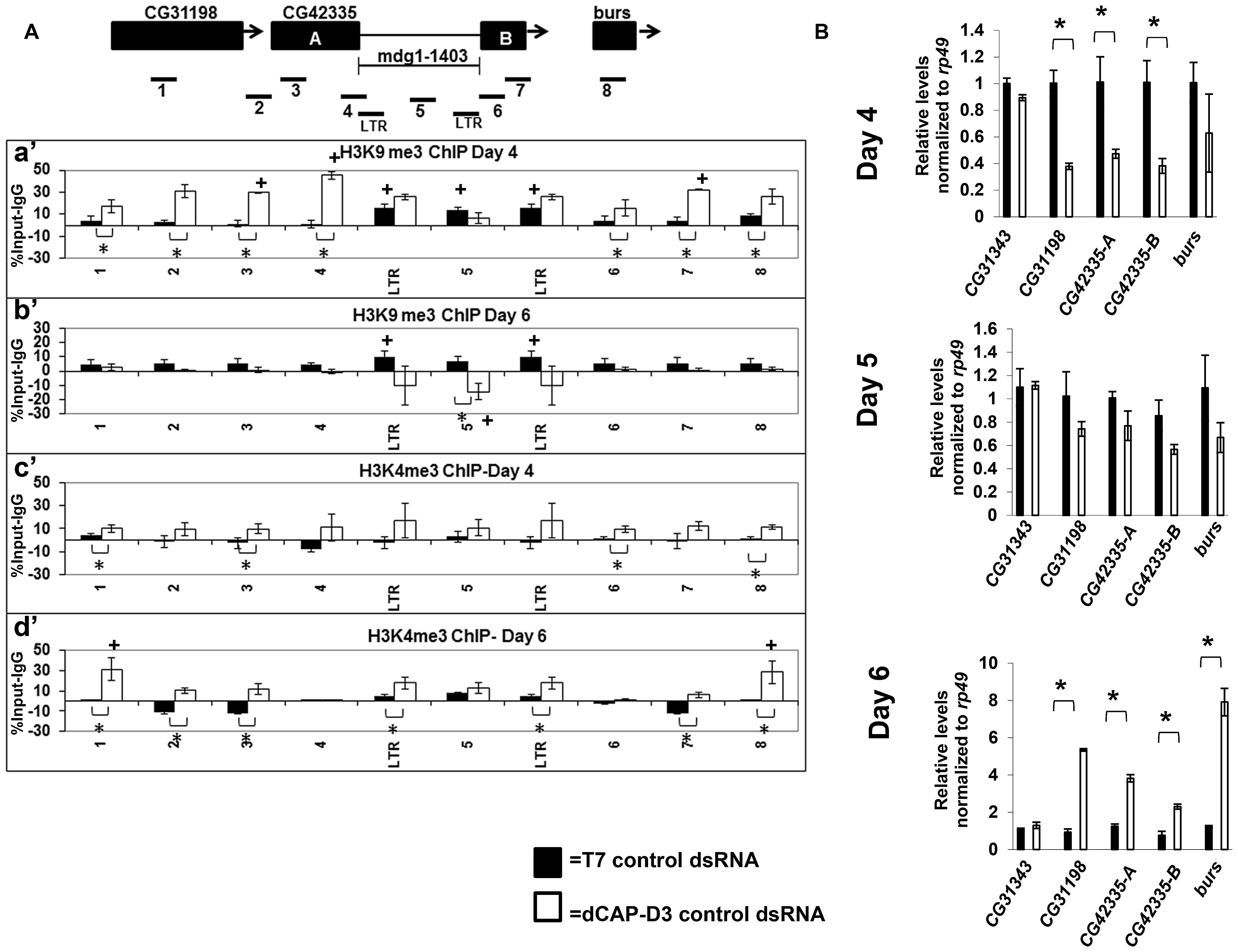 Decreased dCAP-D3 levels result in spreading of repressive histone marks and an opening of the chromatin at a dCAP-D3 regulated gene cluster containing a retrotransposon.