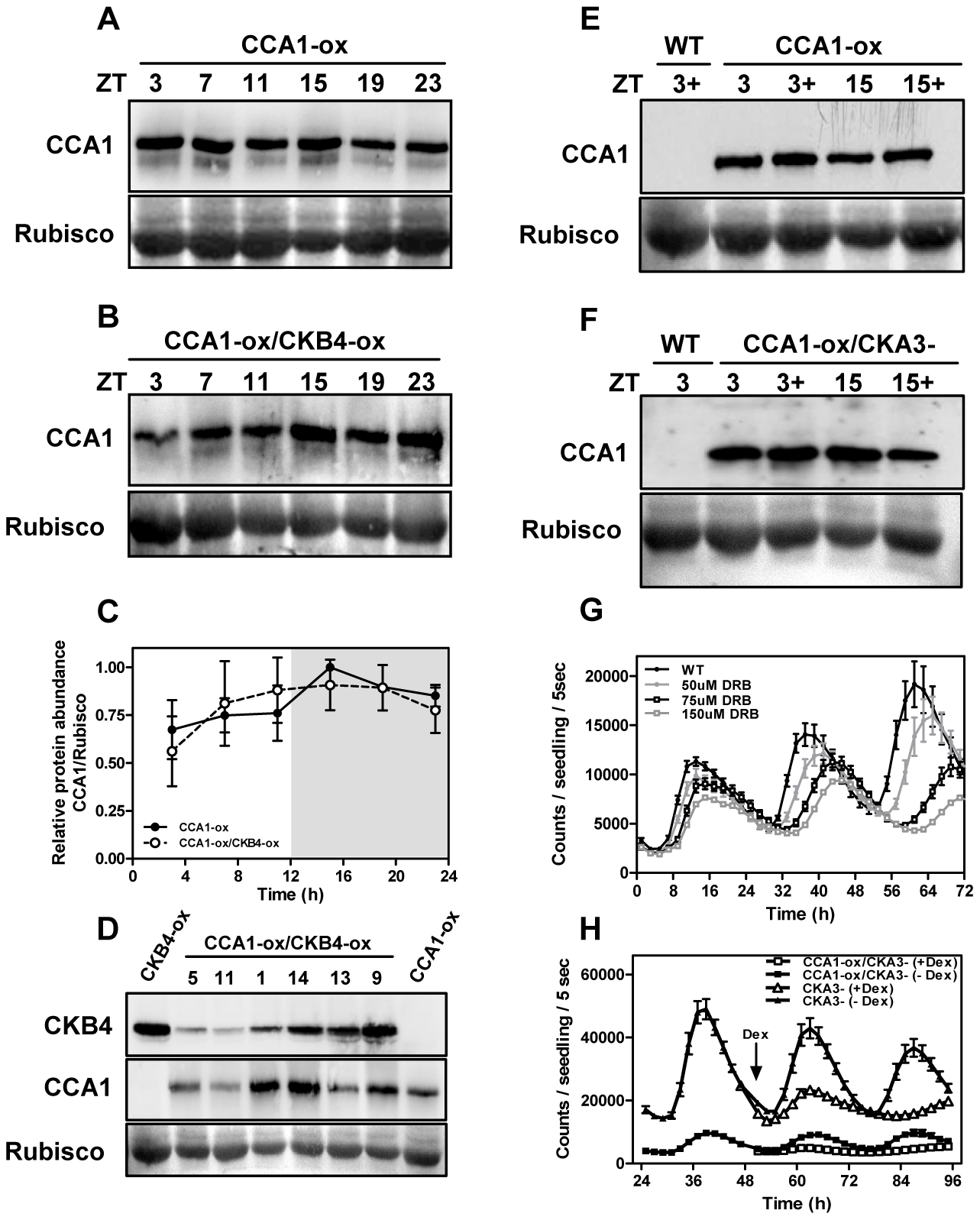 CK2 regulates <i>TOC1:LUC</i> expression without altering CCA1 protein accumulation.