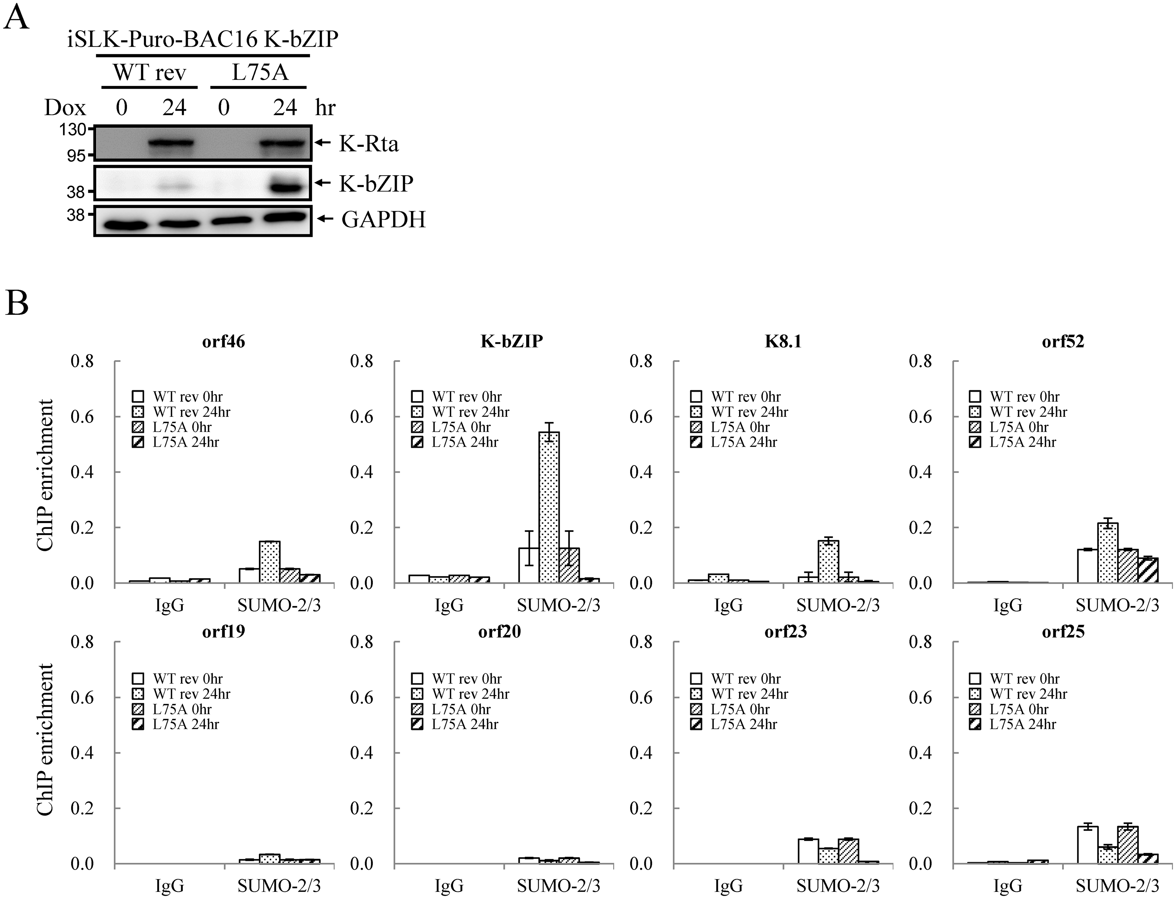 SUMO E3 ligase activity of K-bZIP is essential for SUMO-2/3 modification of the viral genome during lytic reactivation.
