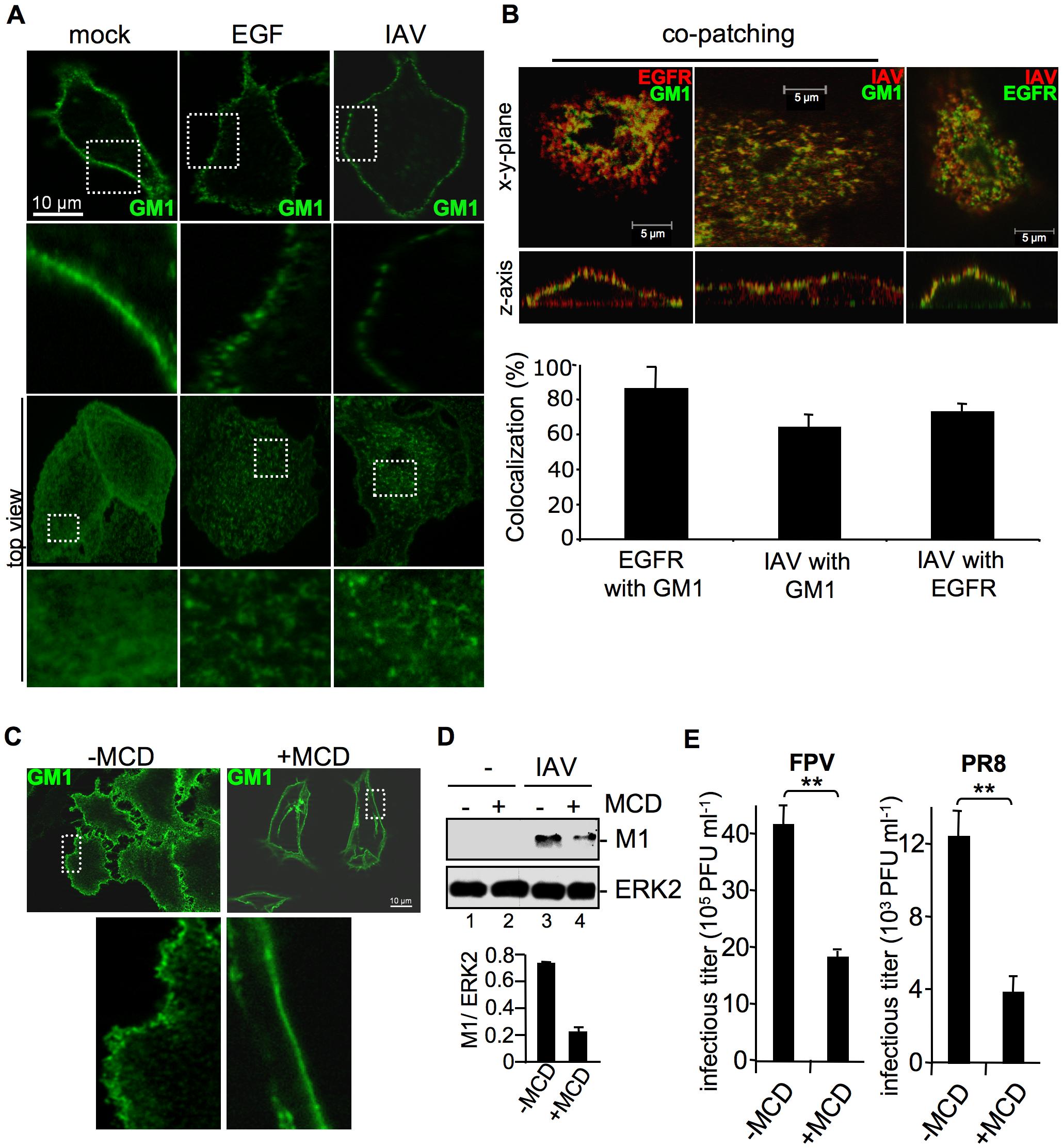 Attachment of IAV clusters plasma-membrane lipids.