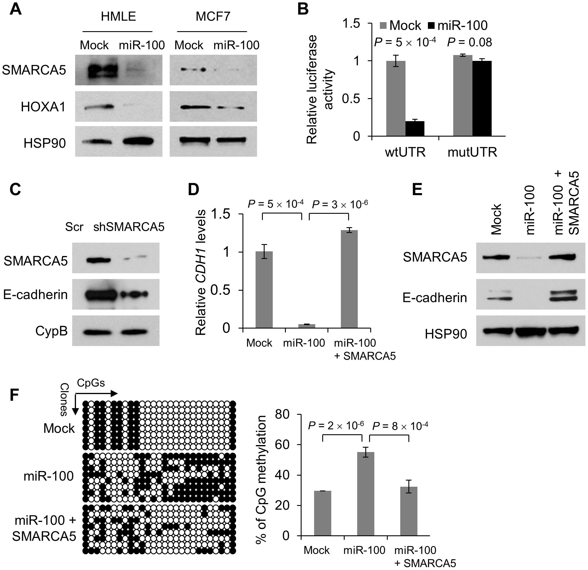 miR-100 downregulates E-cadherin by targeting <i>SMARCA5</i>.