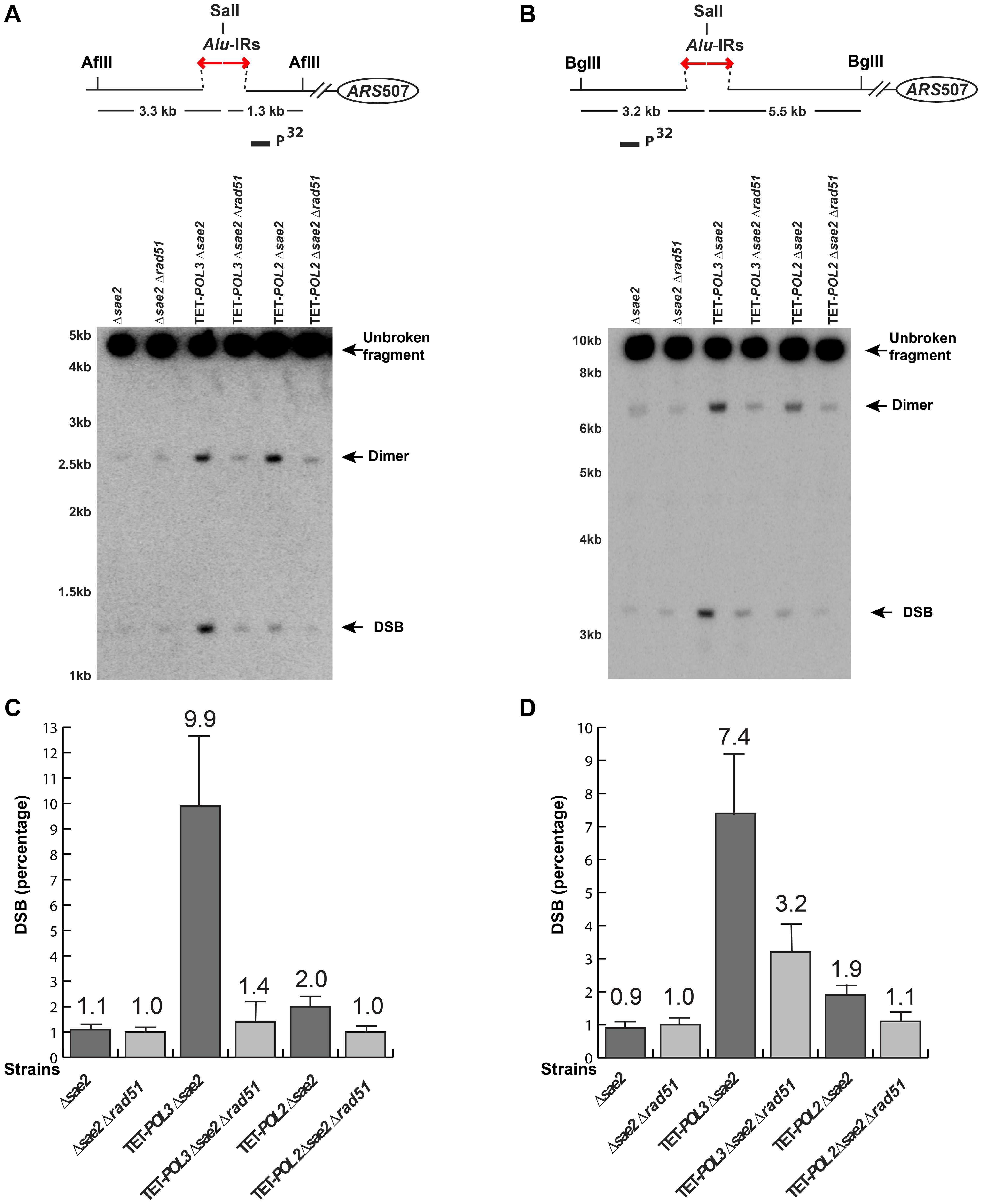 Detection of DSB accumulation in wild-type and mutant strains upon deletion of <i>RAD51</i>.