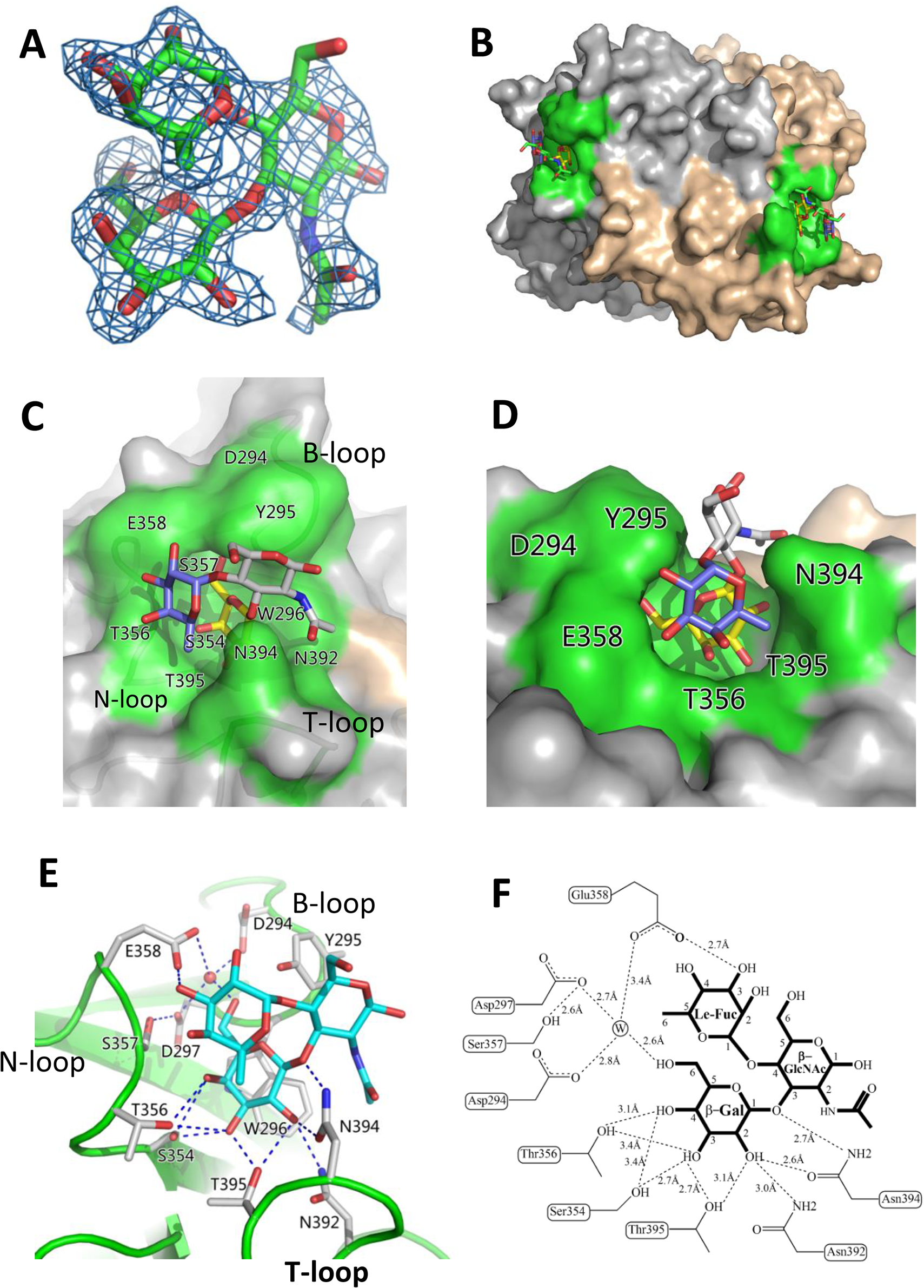 Identification of the HBGA-binding interface of OIF virus and its interaction with the Le<sup>a</sup> trisaccharide.