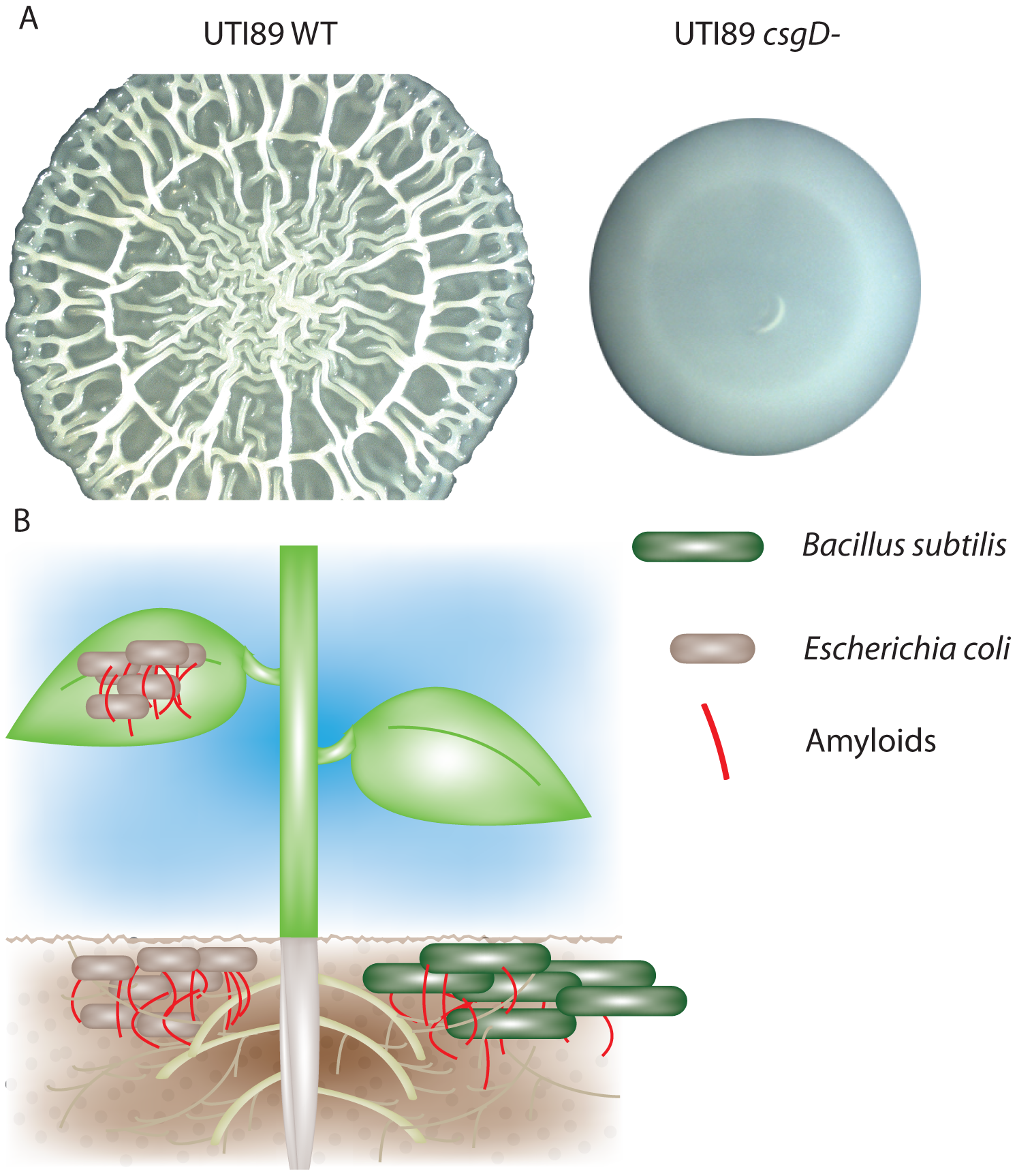 Bacterial amyloids are utilized in multiple environments.