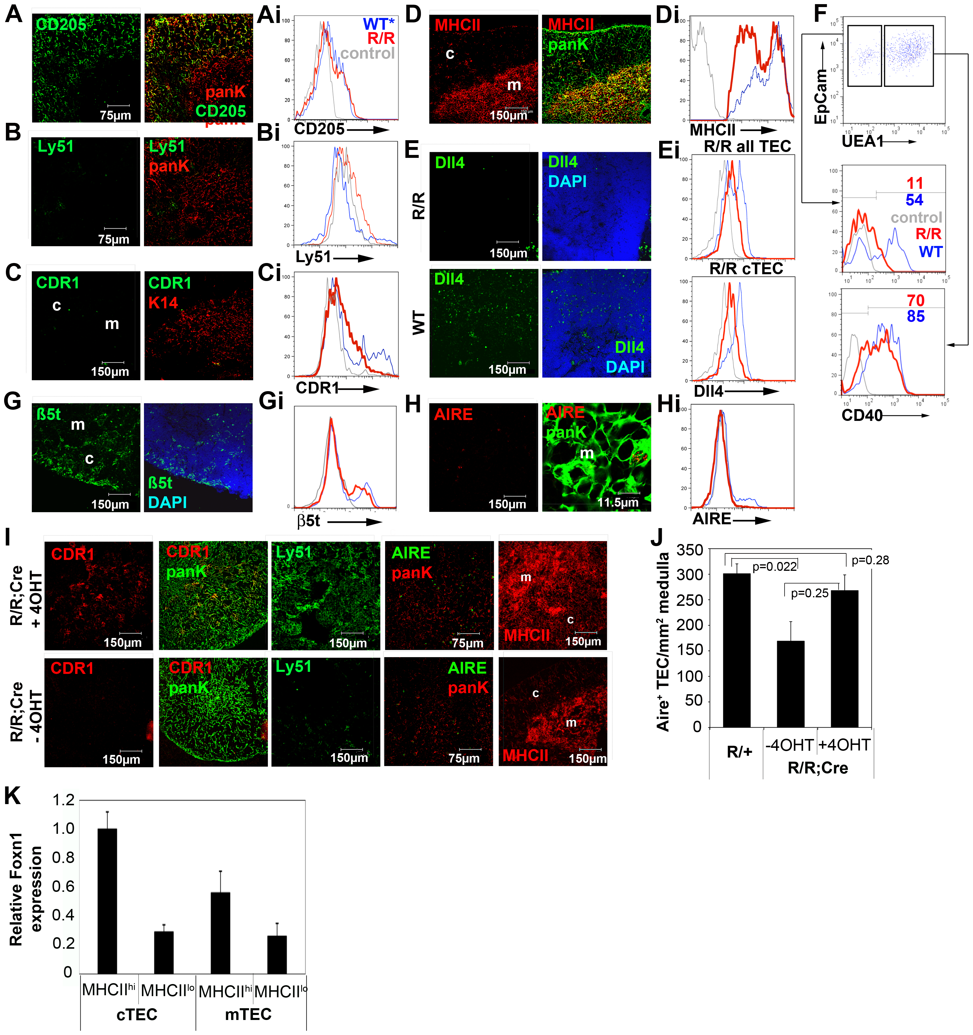 Reduced Foxn1 expression results in impaired development of both medullary and cortical TEC in postnatal <i>Foxn1<sup>R/R</sup></i> thymi.