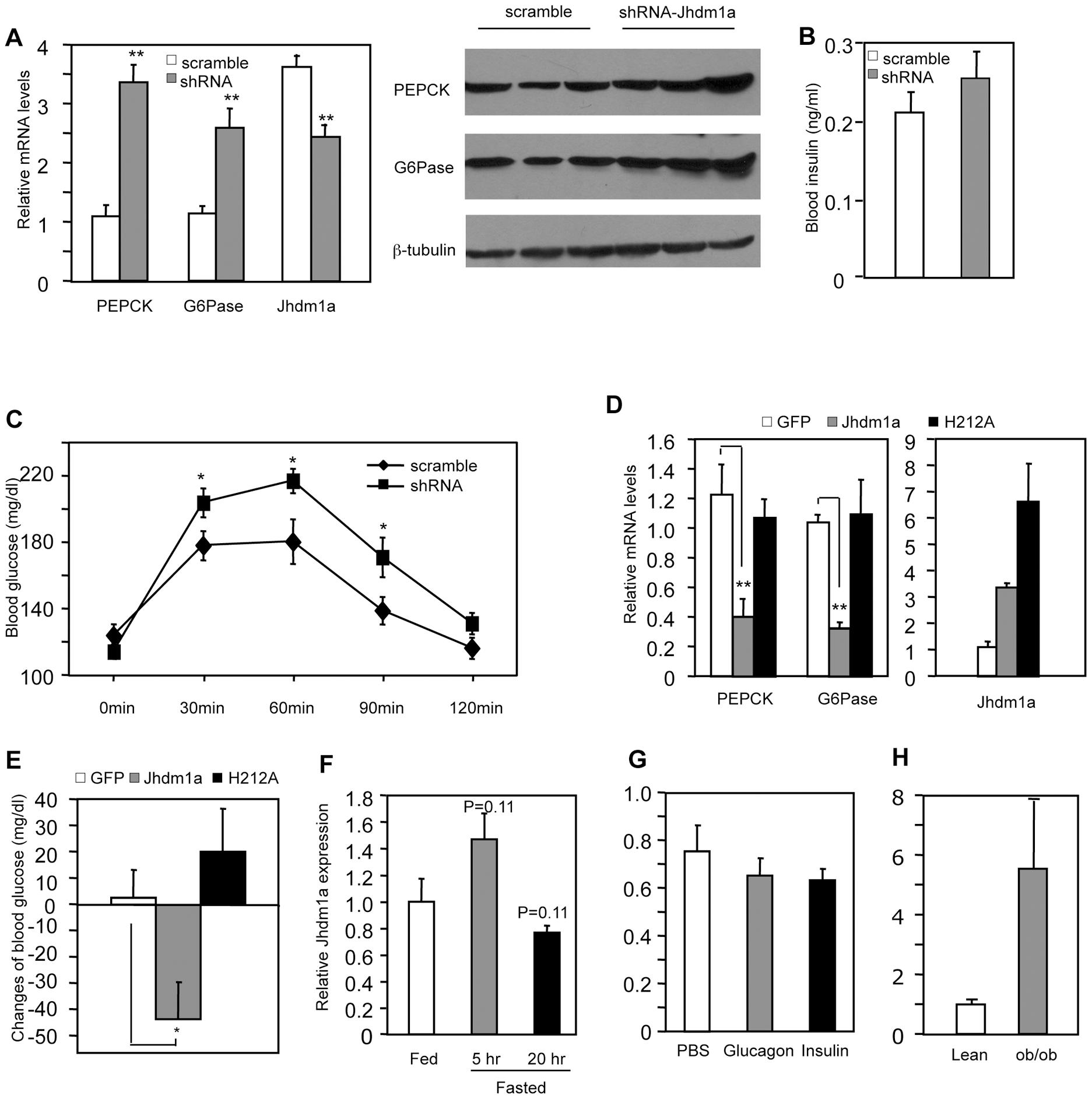 Jhdm1a regulates gluconeogenesis in vivo.