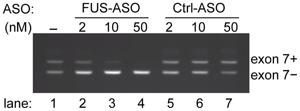 Modulation of <i>FUS</i> exon 7 alternative splicing by antisense oligonucleotides.