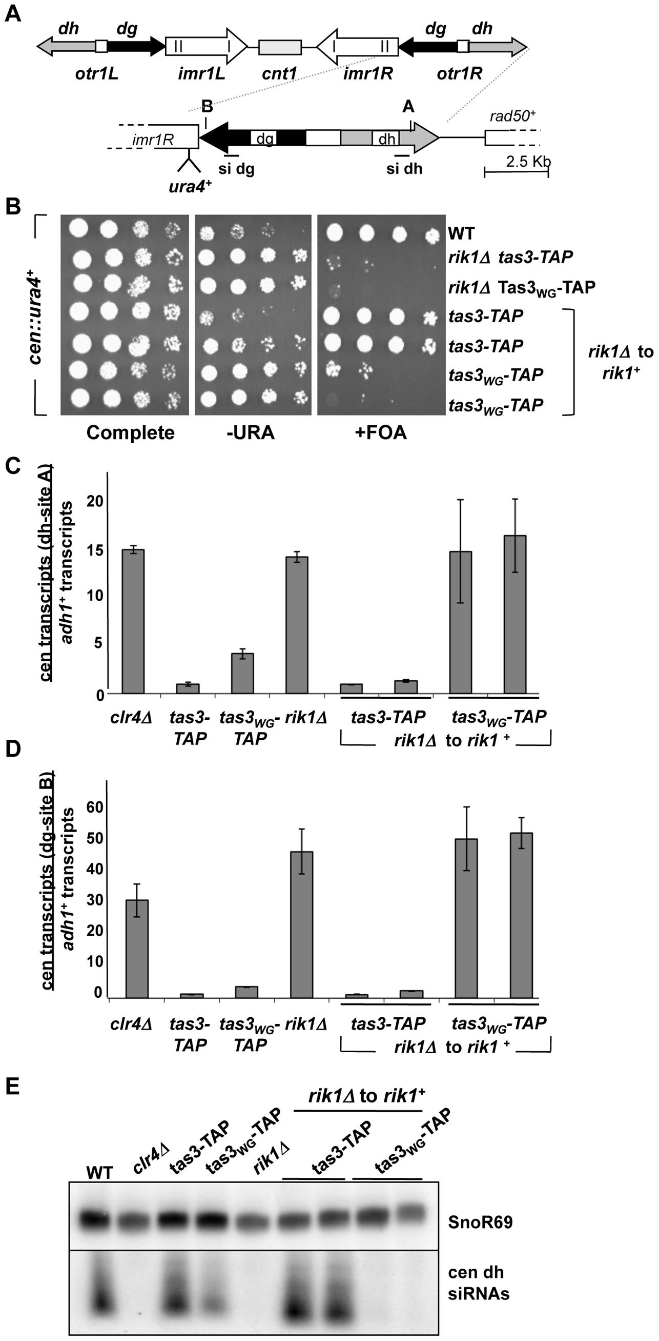 Clr-C component <i>rik1<sup>+</sup></i> is required for establishment of repressive chromatin at the centromere.
