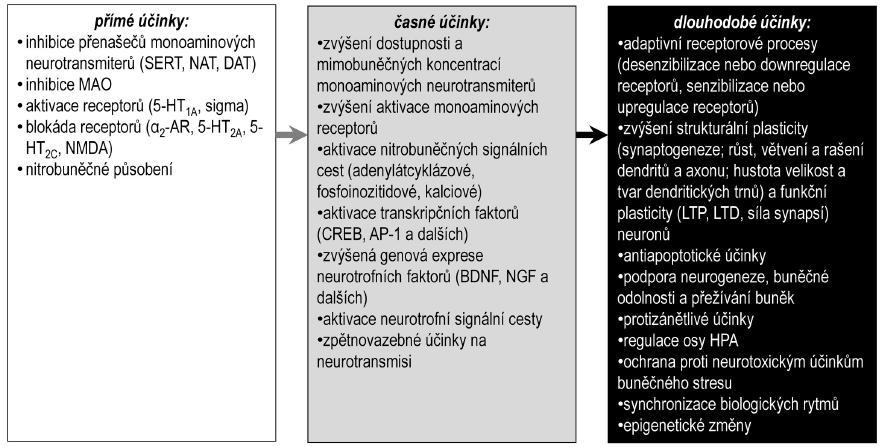 Předpokládaný sled účinků antidepresiv BDNF – mozkový neurotrofní faktor, CREB – transkripční faktor aktivovaný v odezvě na zvýšení hladin cyklického adenozinmonofosfátu, DAT – přenašeč pro dopamin, NAT – přenašeč pro noradrenalin, HPA – osa hypotalamus-hypofýza-kůra nadledvin, NGF – nervový růstový faktor, LTD – dlouhodobá deprese, LTP – dlouhodobá potenciace, SERT – přenašeč pro serotonin