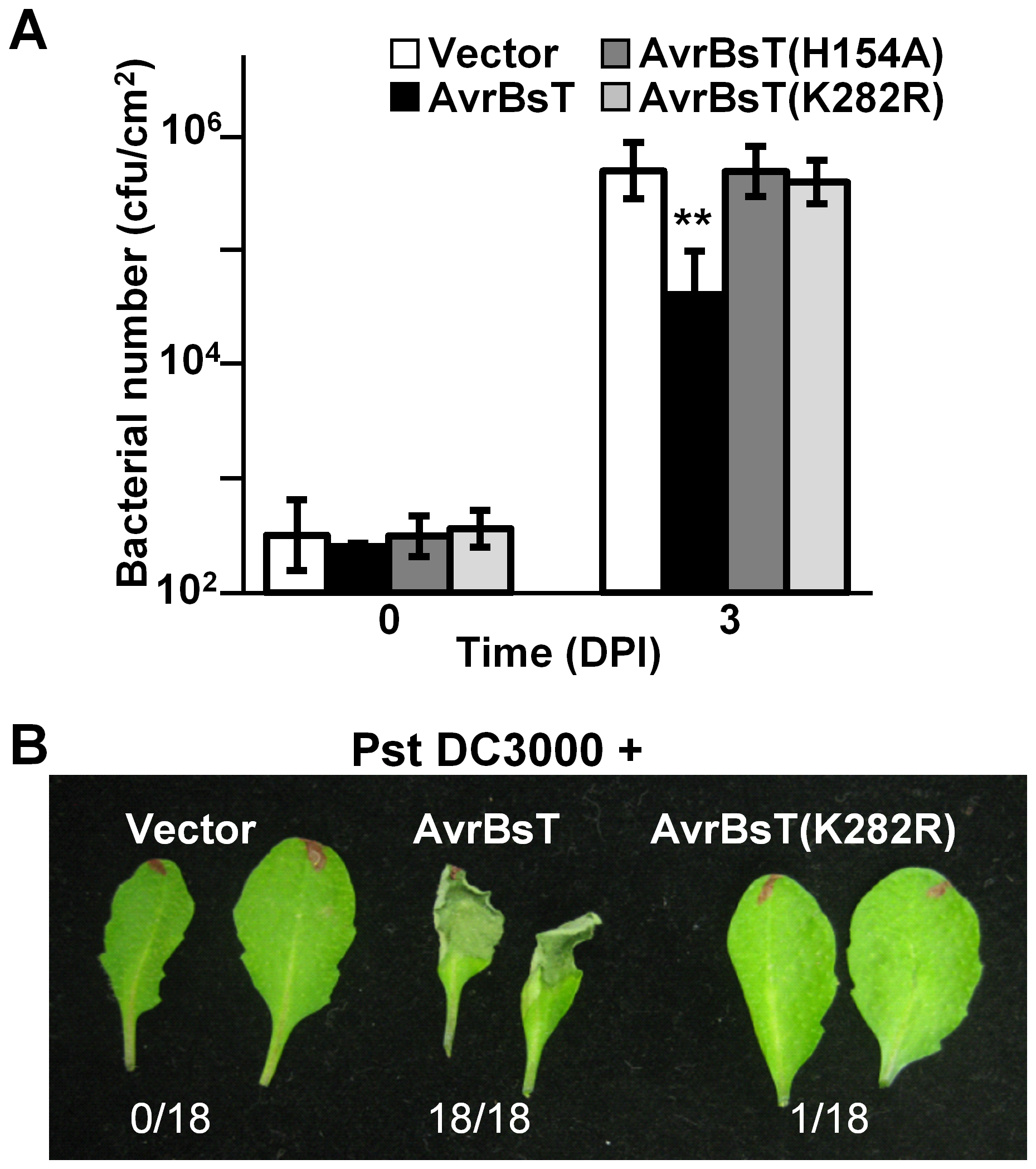 Mutation of K282 attenuates AvrBsT-triggered resistance.